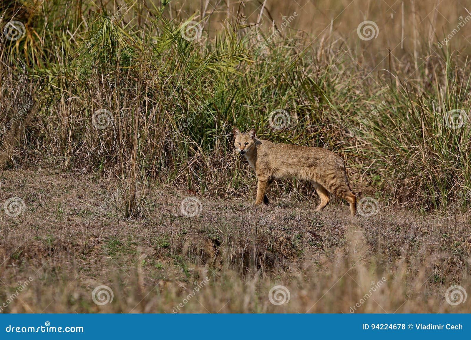 Beautiful jungle cat in the nature habitat in India