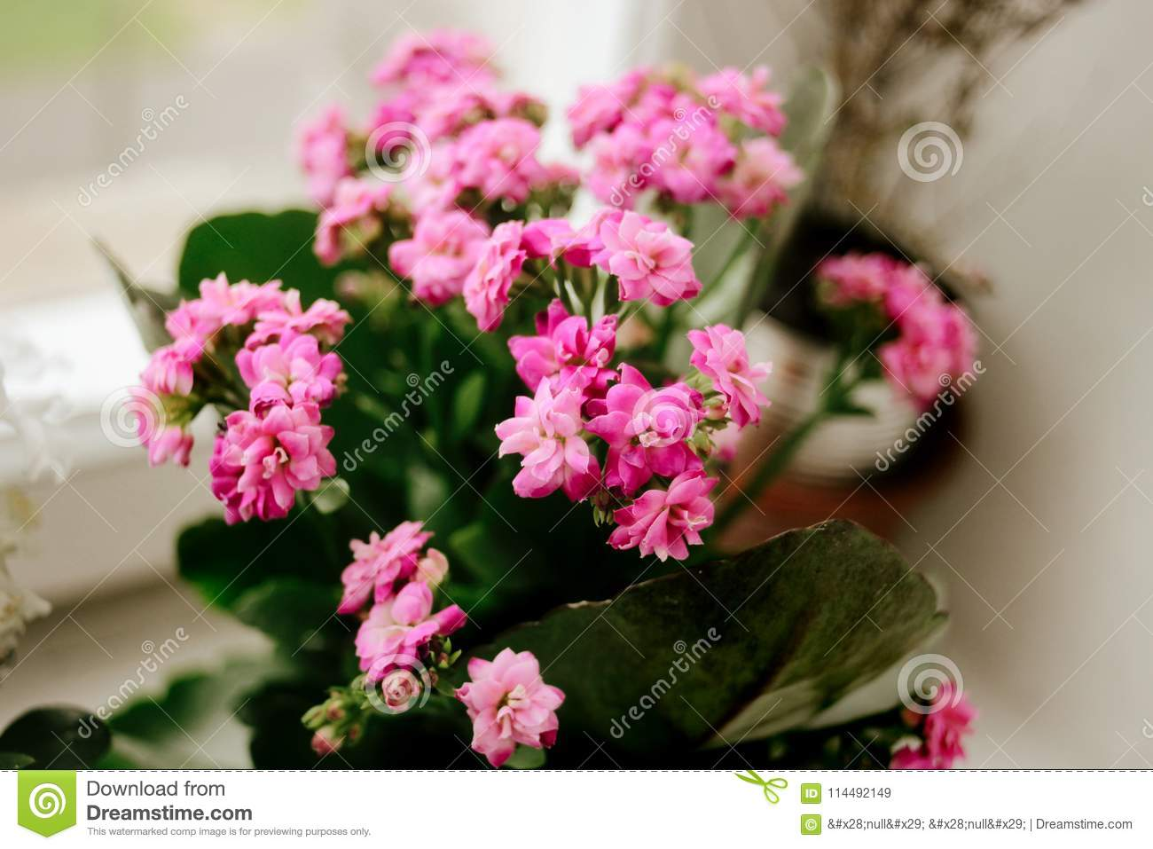 Beautiful Kalanchoe Home Plant With Lovely Pink Flowers On The W