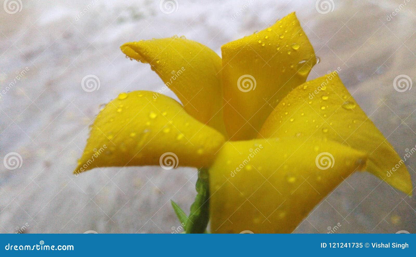 Beautiful Kaner Flower Stock Image Image Of Captured 121241735