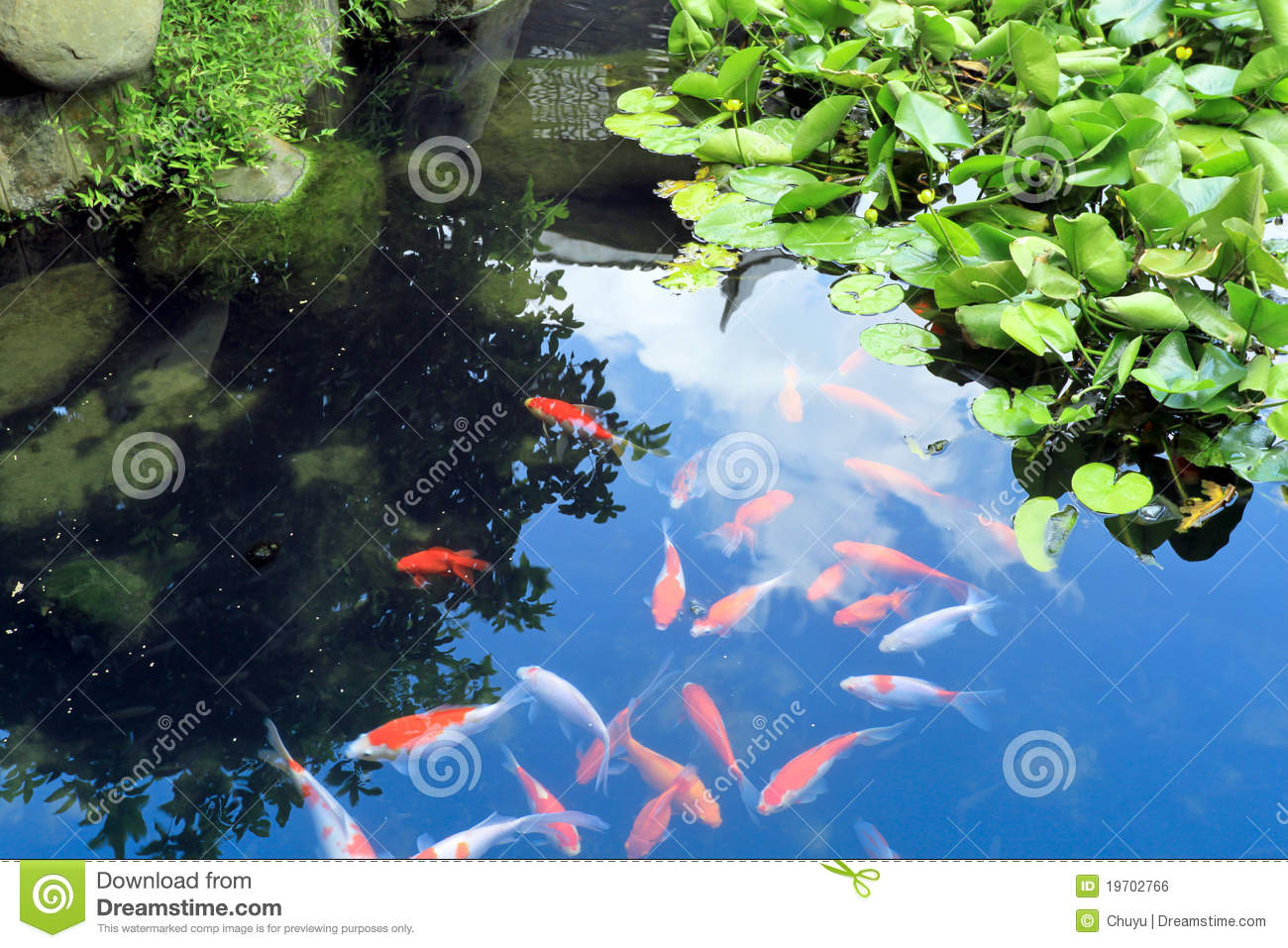Beautiful koi or carp chinese fish in water royalty free for Golden ornamental pond fish crossword