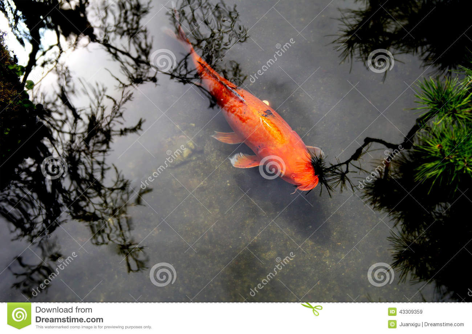 Beautiful koi or carp chinese fish in water stock image for Beautiful koi fish