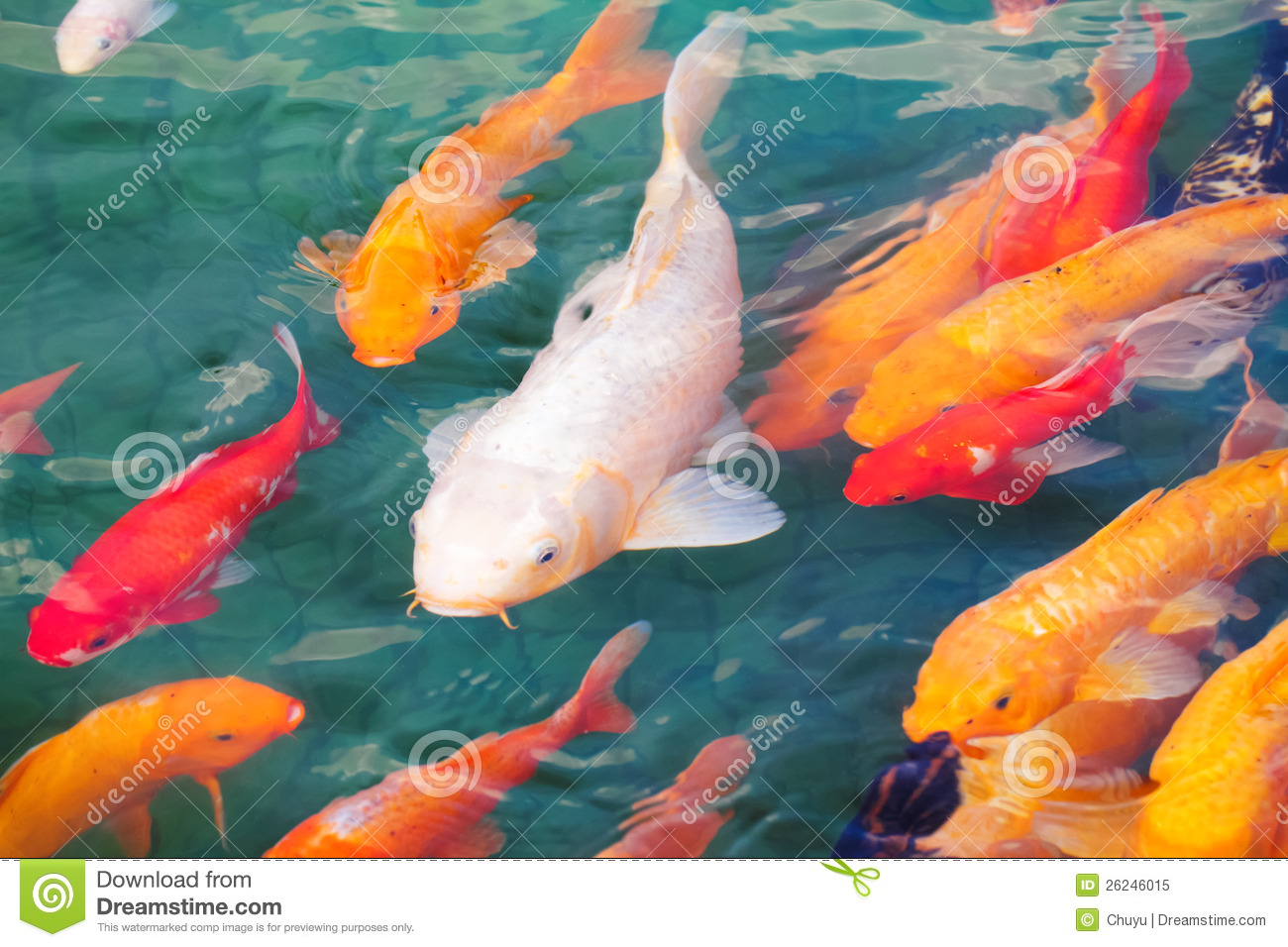 Beautiful koi fish stock image image of aquatic carp Koi fish swimming pool