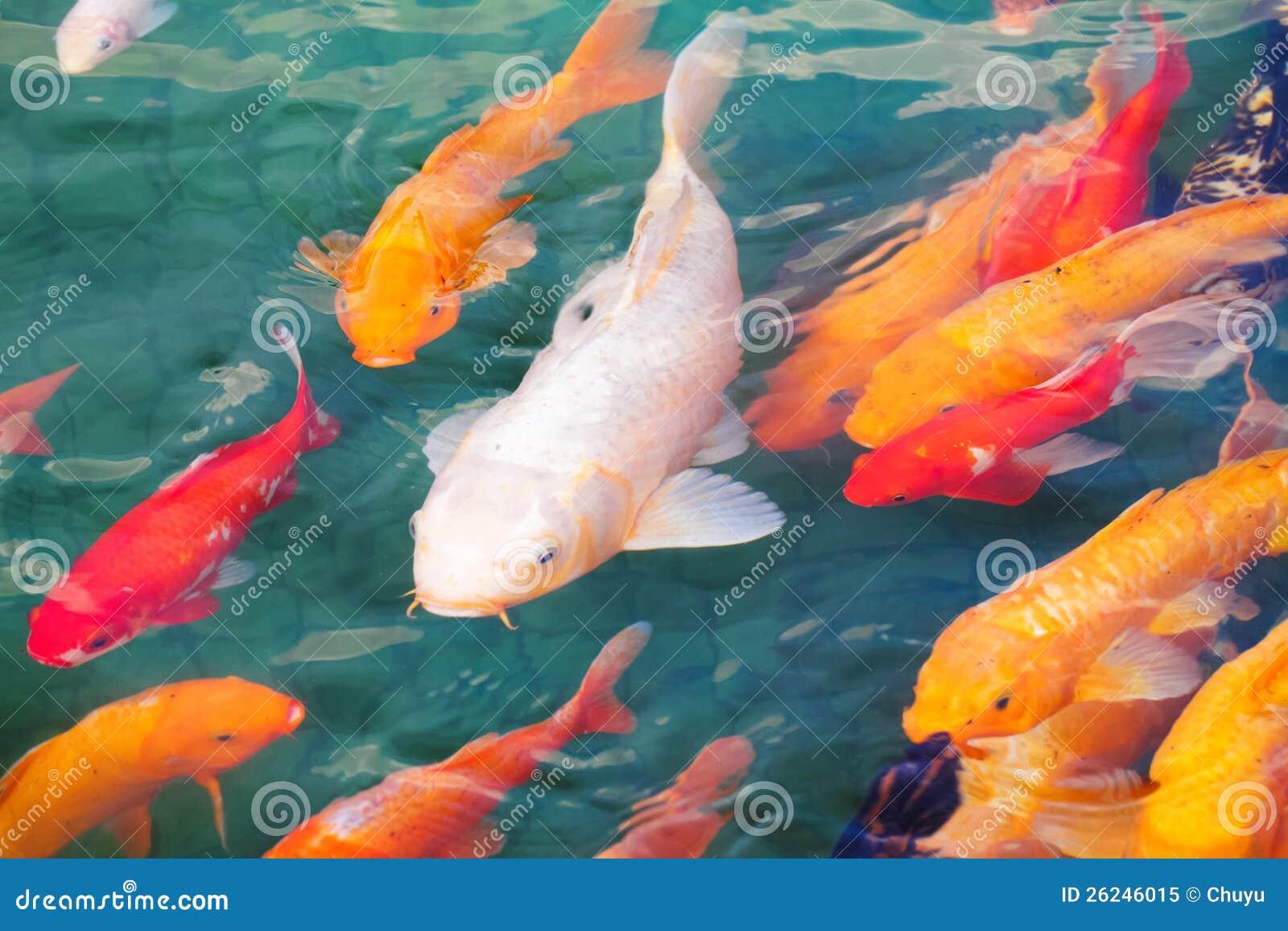 Beautiful koi fish royalty free stock photo image 26246015 for Beautiful koi fish
