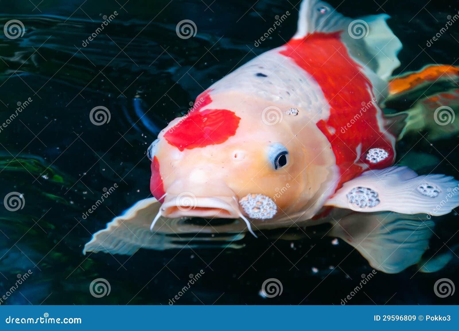 Beautiful koi fish royalty free stock images image 29596809 for Beautiful koi fish