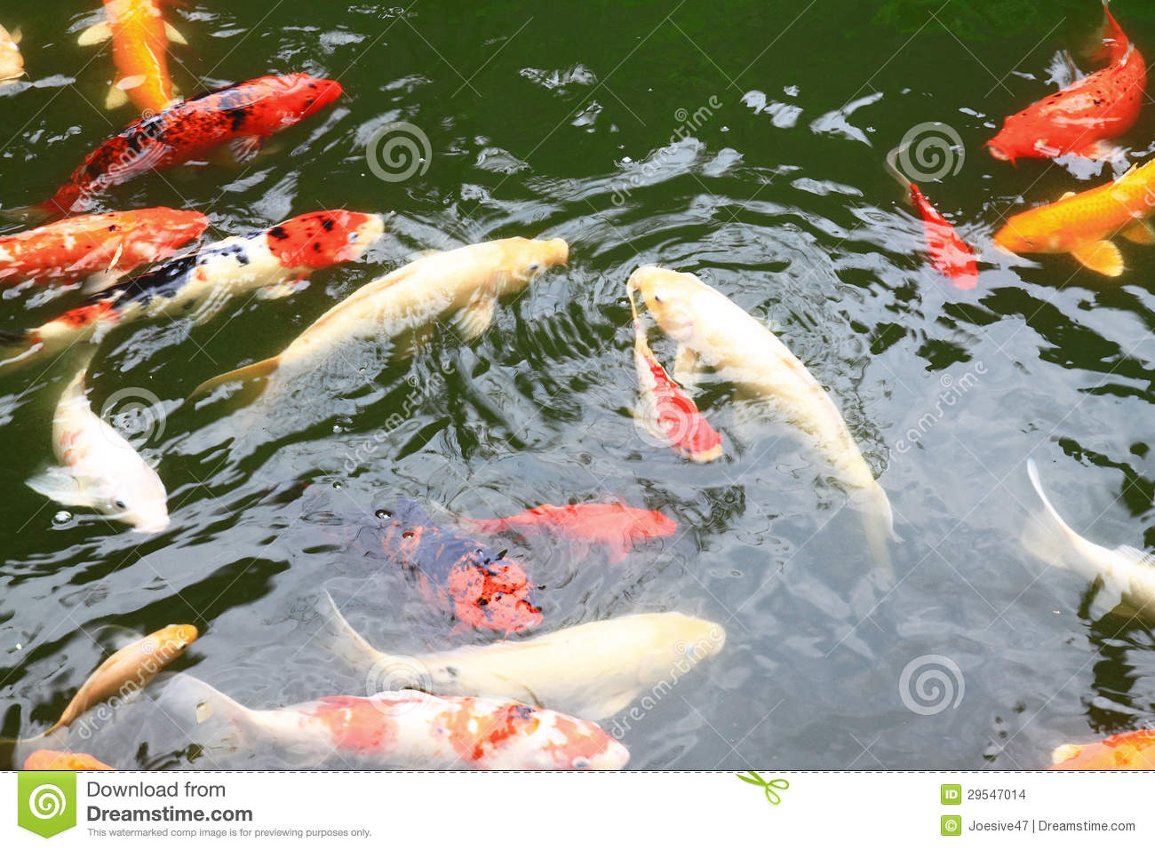 Beautiful koi fish swimming in the pond stock images for Dream of fish swimming