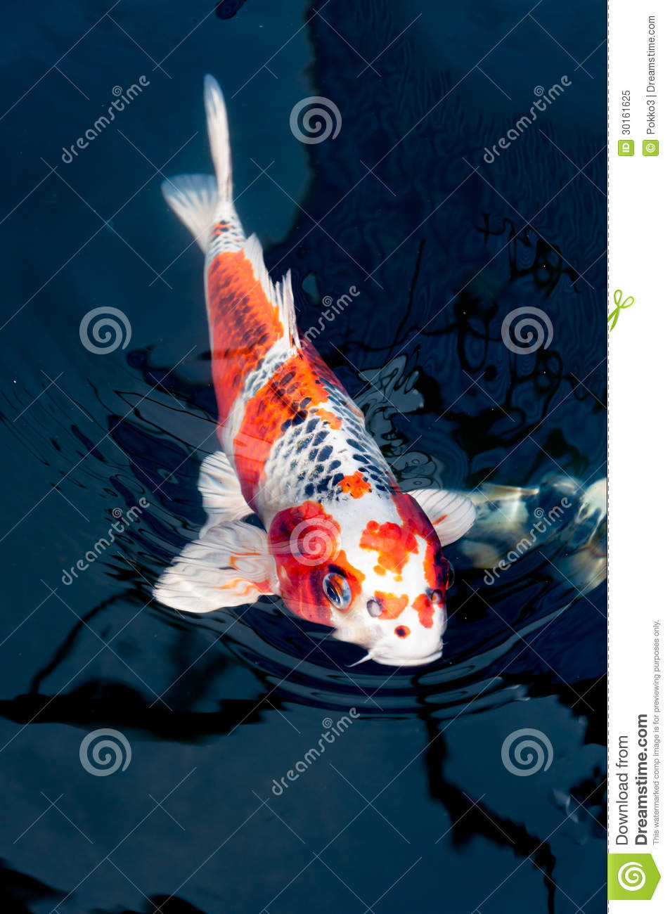 Beautiful koi fish royalty free stock photo image 30161625 for Pool koi aquatics ltd