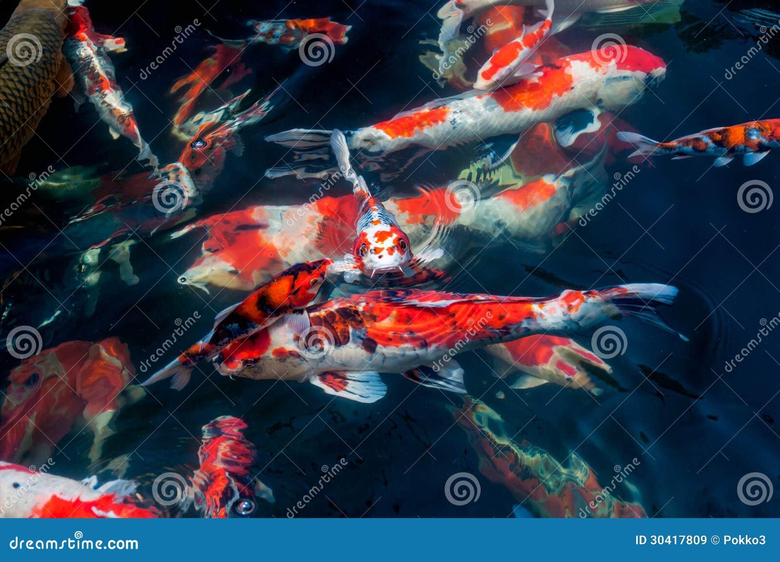 Beautiful koi fish royalty free stock images image 30417809 for Beautiful koi fish