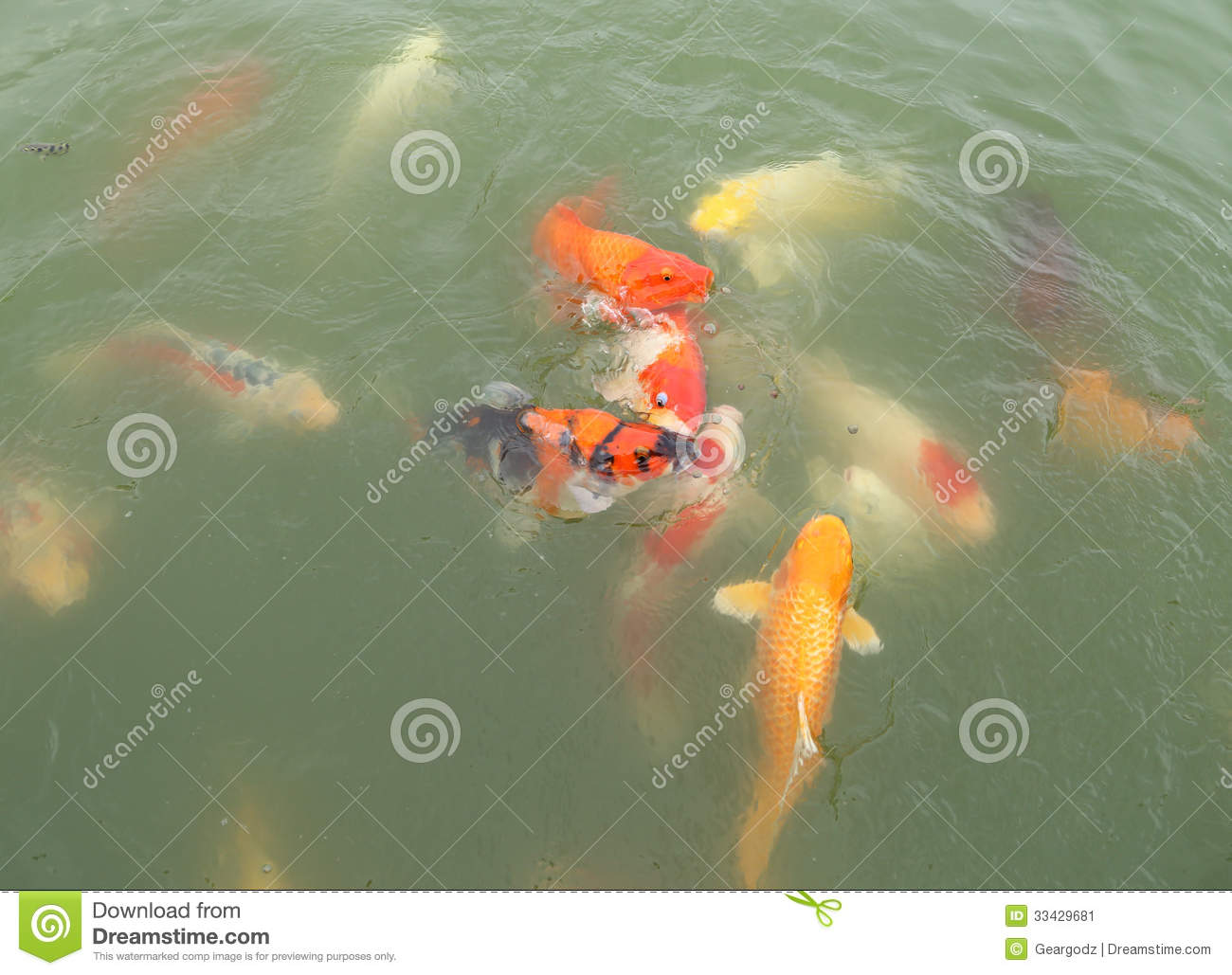 Beautiful koi fish swimming stock image image 33429681 for Koi swimming