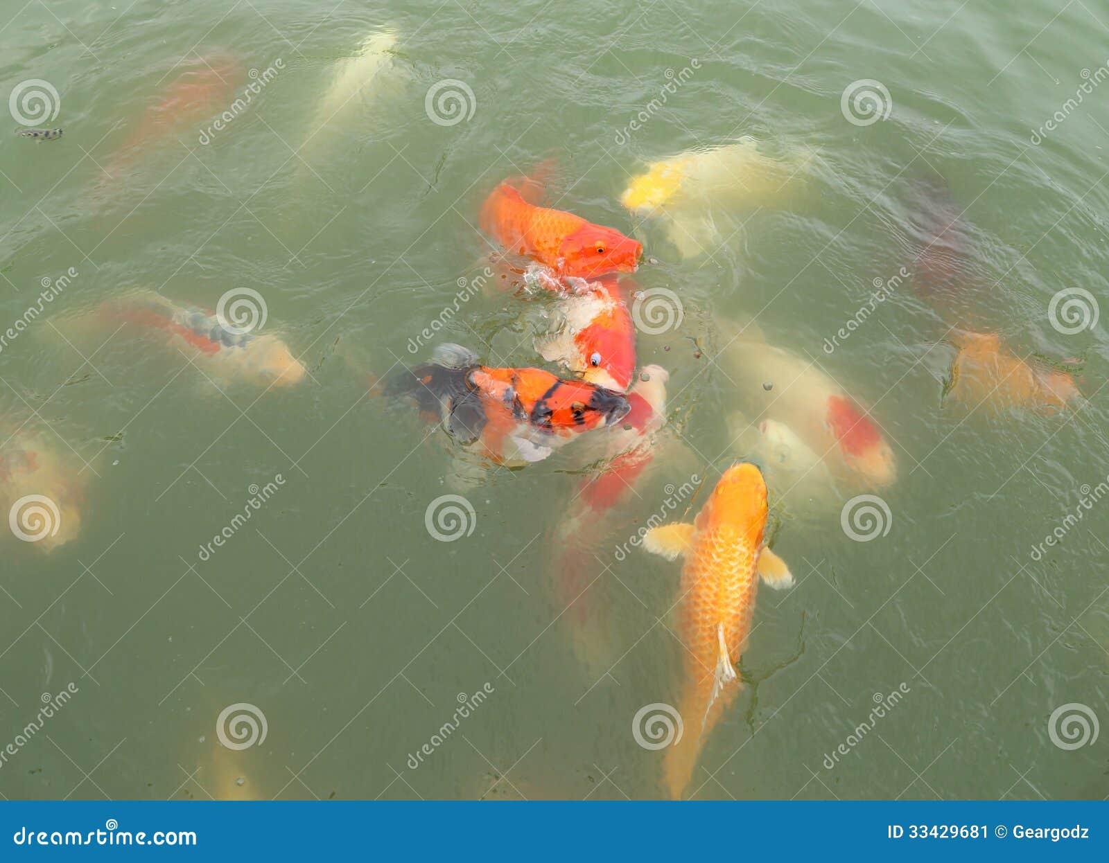 Beautiful koi fish swimming stock image image 33429681 for Beautiful koi fish
