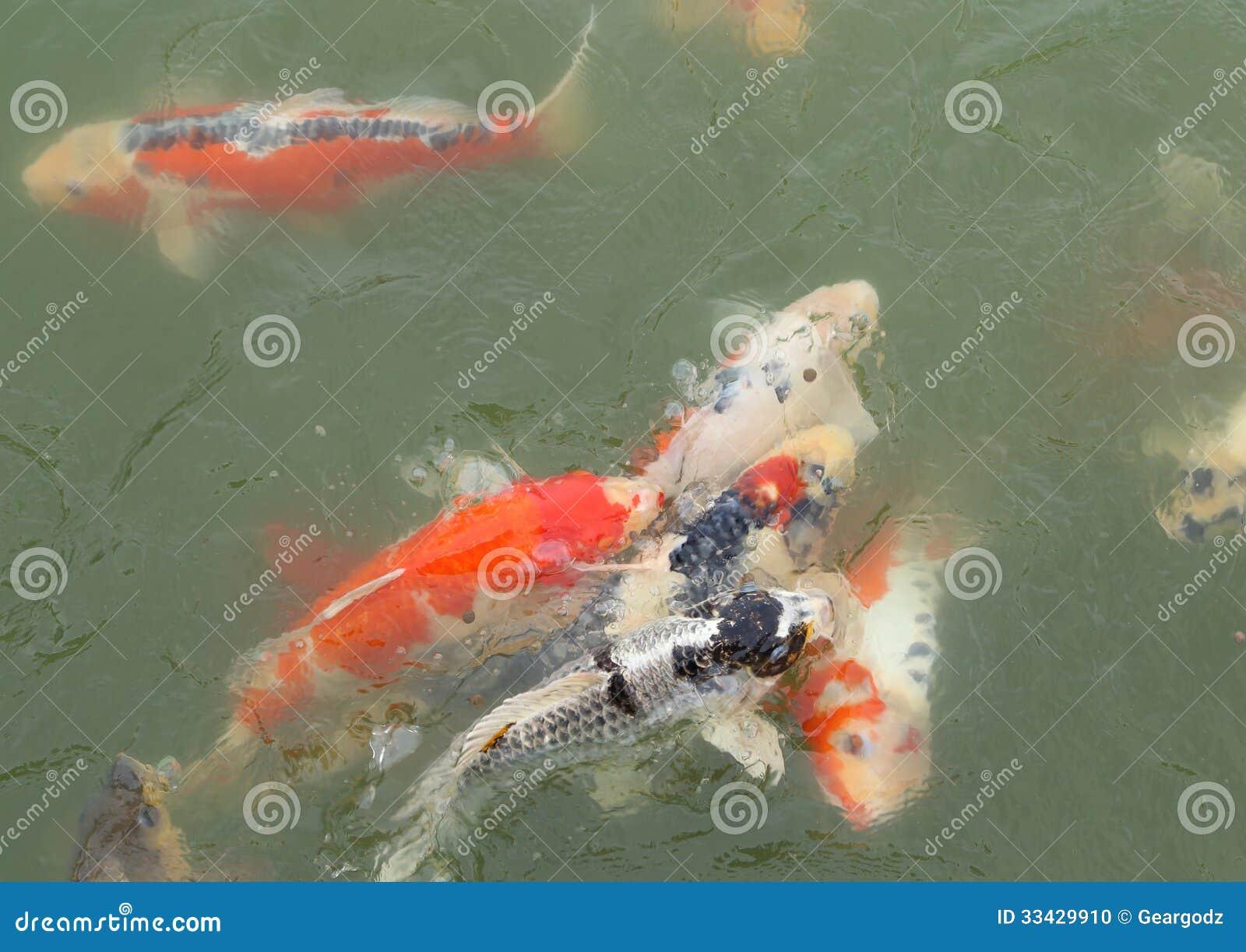 Koi fish swimming beautiful background stock photography for Beautiful koi ponds