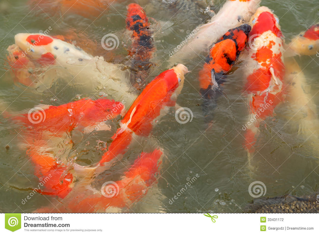 Beautiful koi fish swimming stock photography image for Fish swimming video