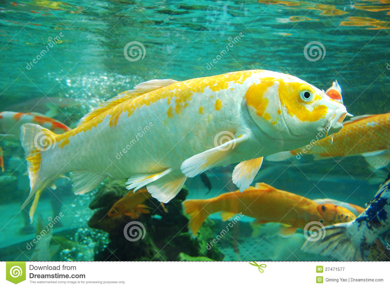 Beautiful koi in the water stock image. Image of background - 27471577