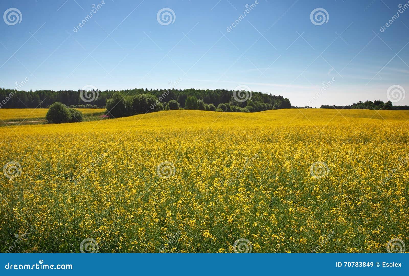 beautiful yellow field landscape - photo #6