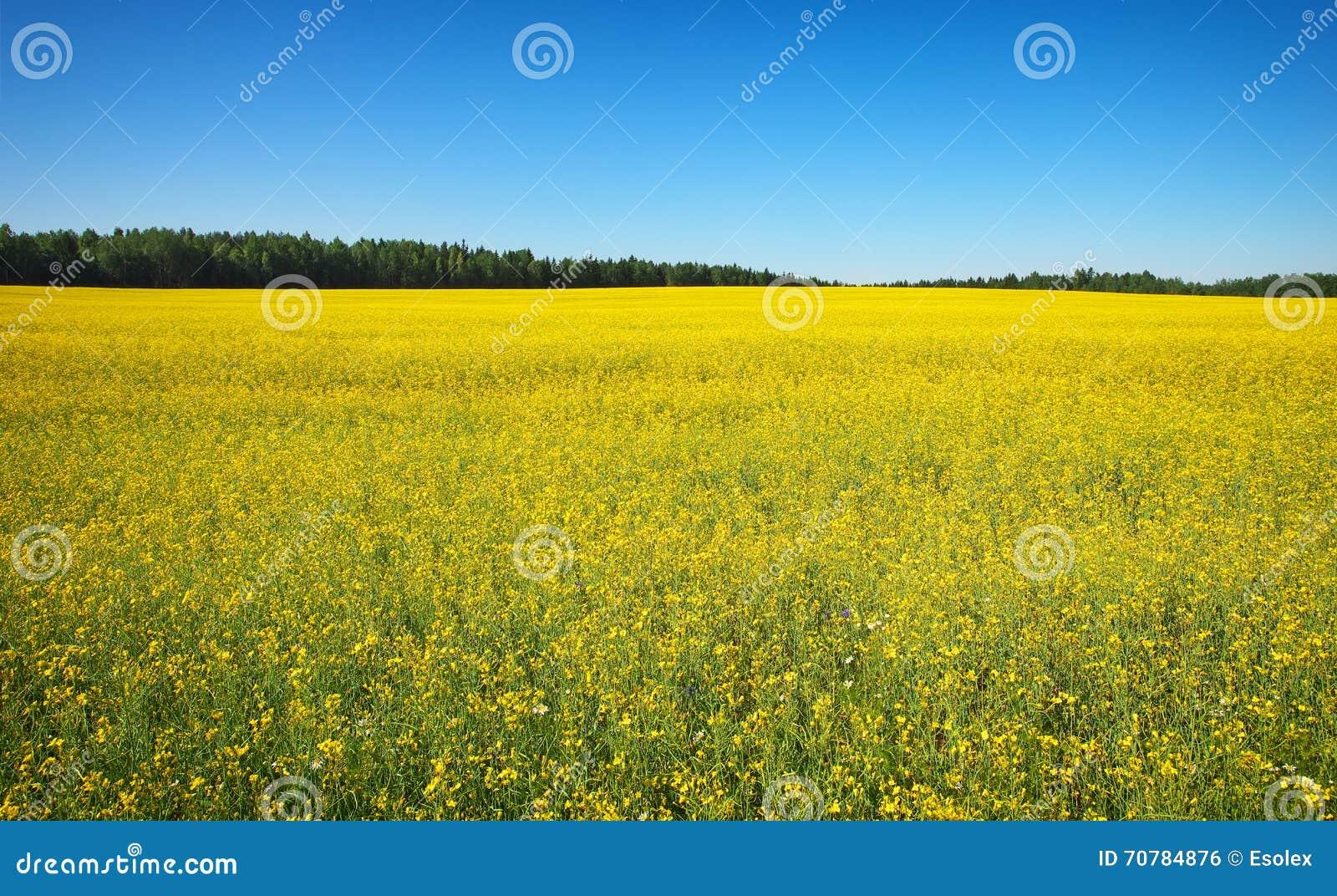 beautiful yellow field landscape - photo #4