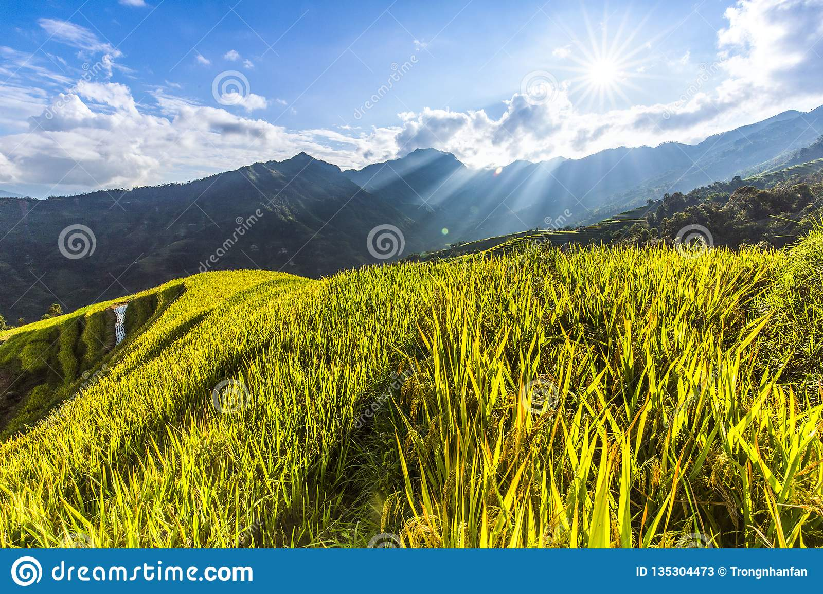 Beautiful Landscape of golden rice field or paddy field with blue sky and cloud