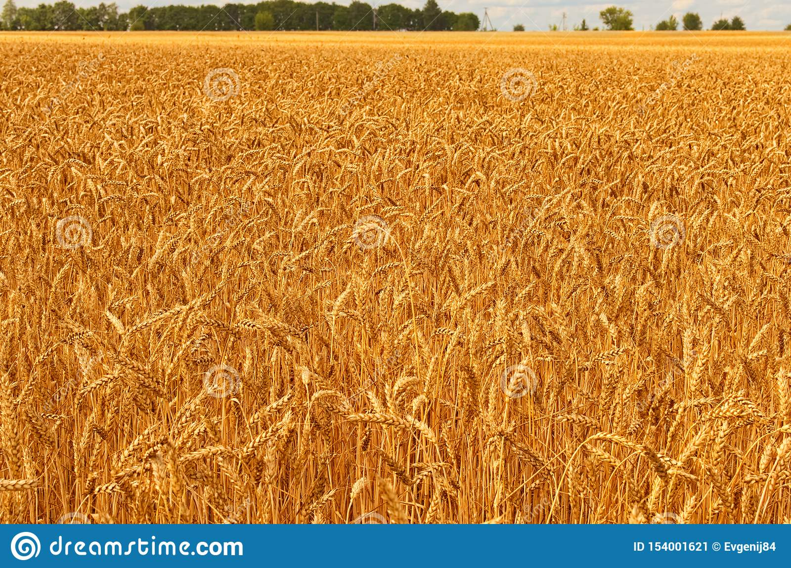 Beautiful landscape view of gold wheat field against blue sky. Agricultural concept