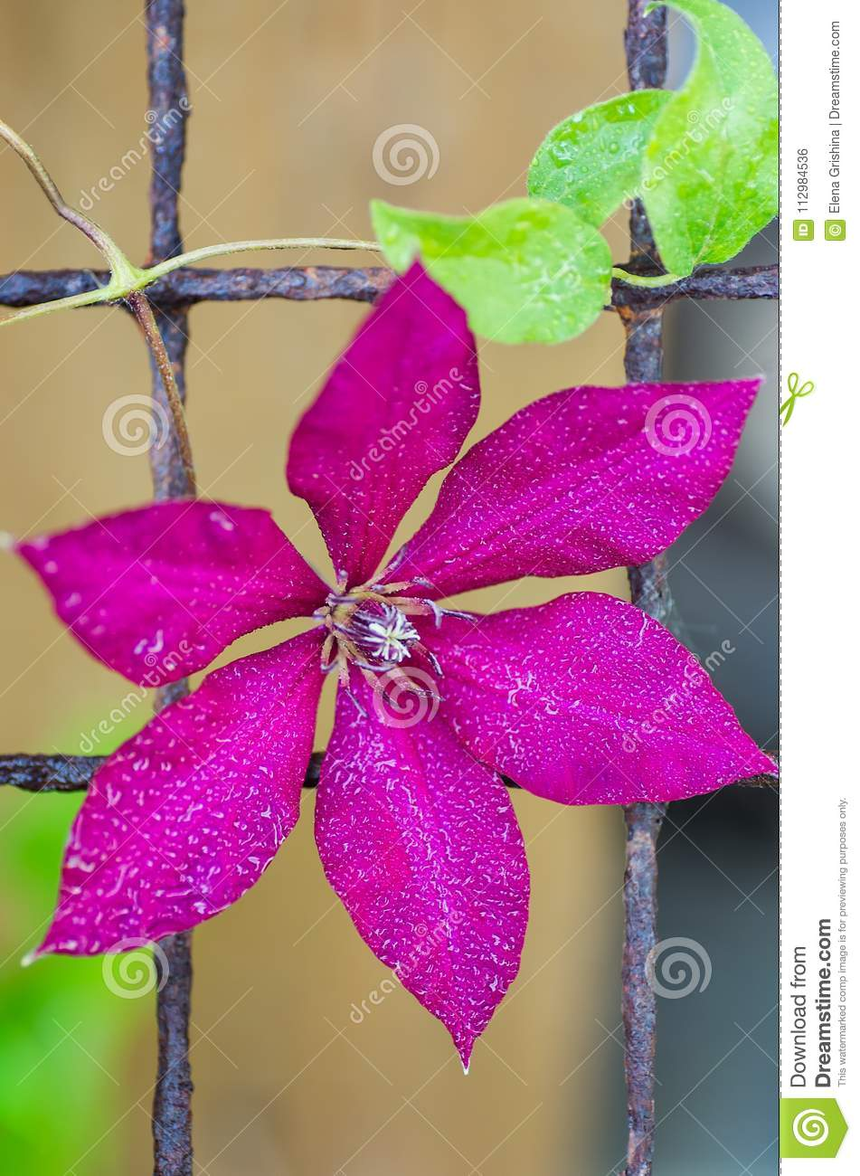 Bright Clematis flower. Color of fuchsia. close-up