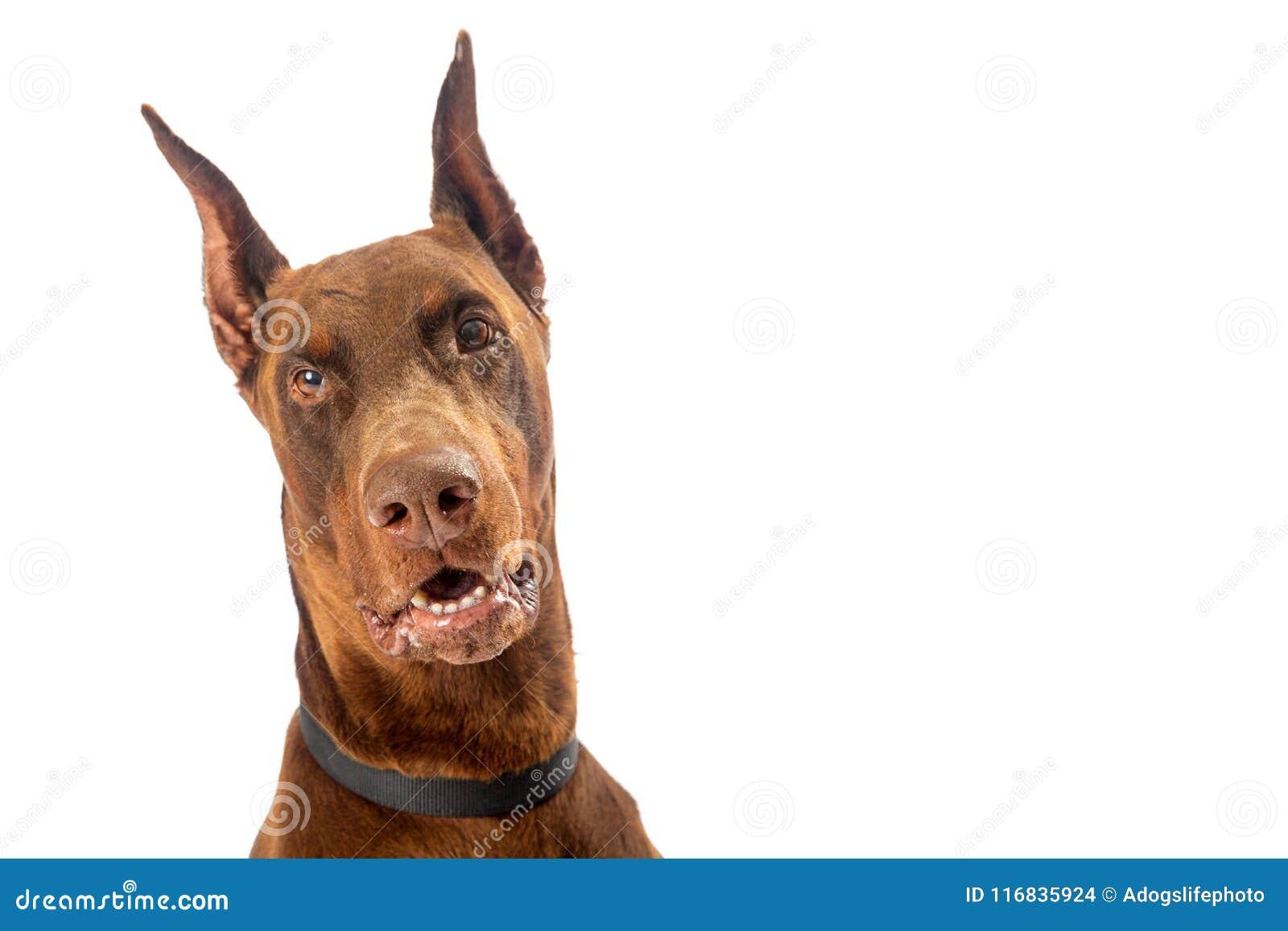 red doberman pinscher dog closeup on white stock photo image of