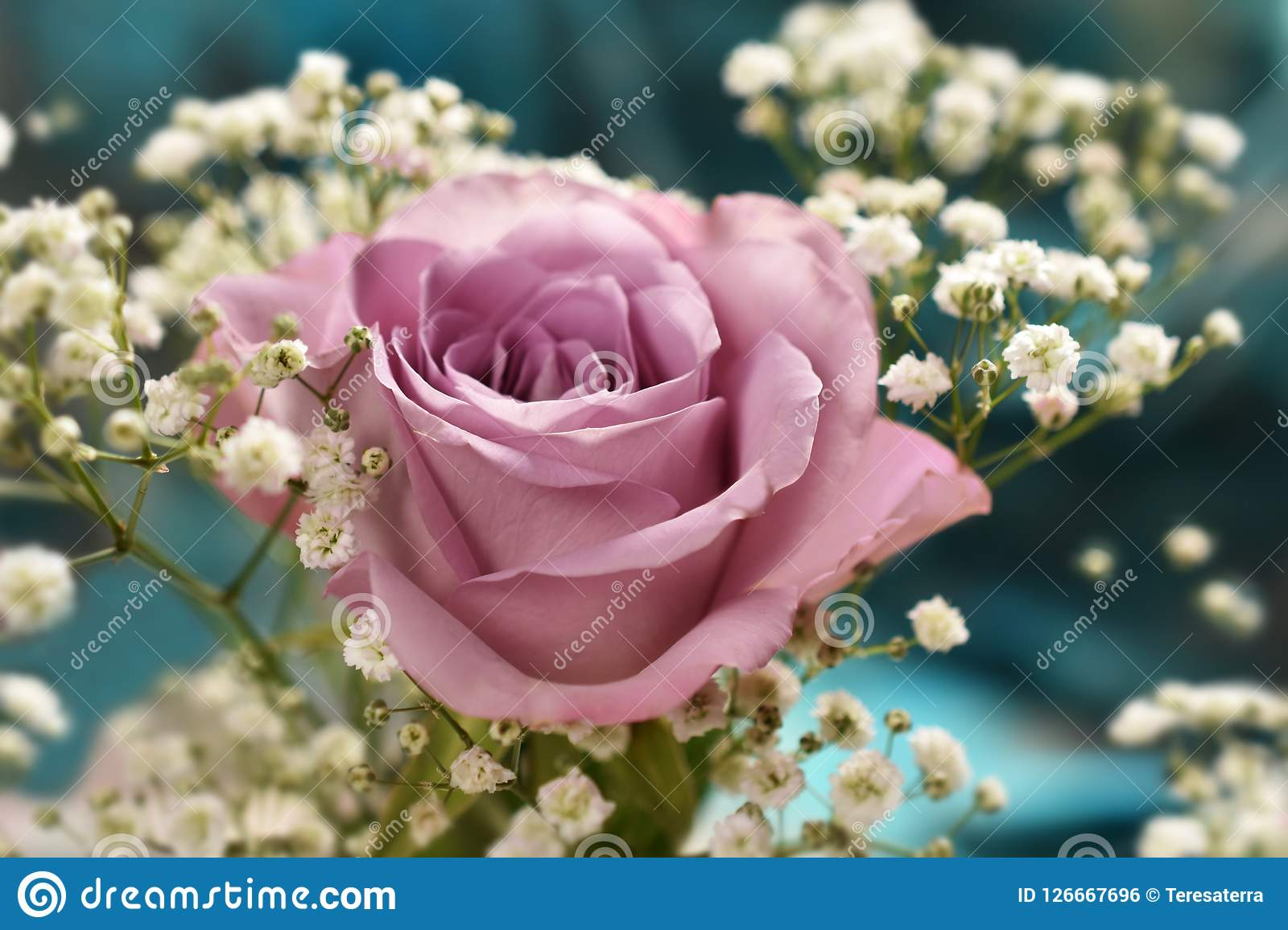 Beautiful lavender color rose with gypsophilla