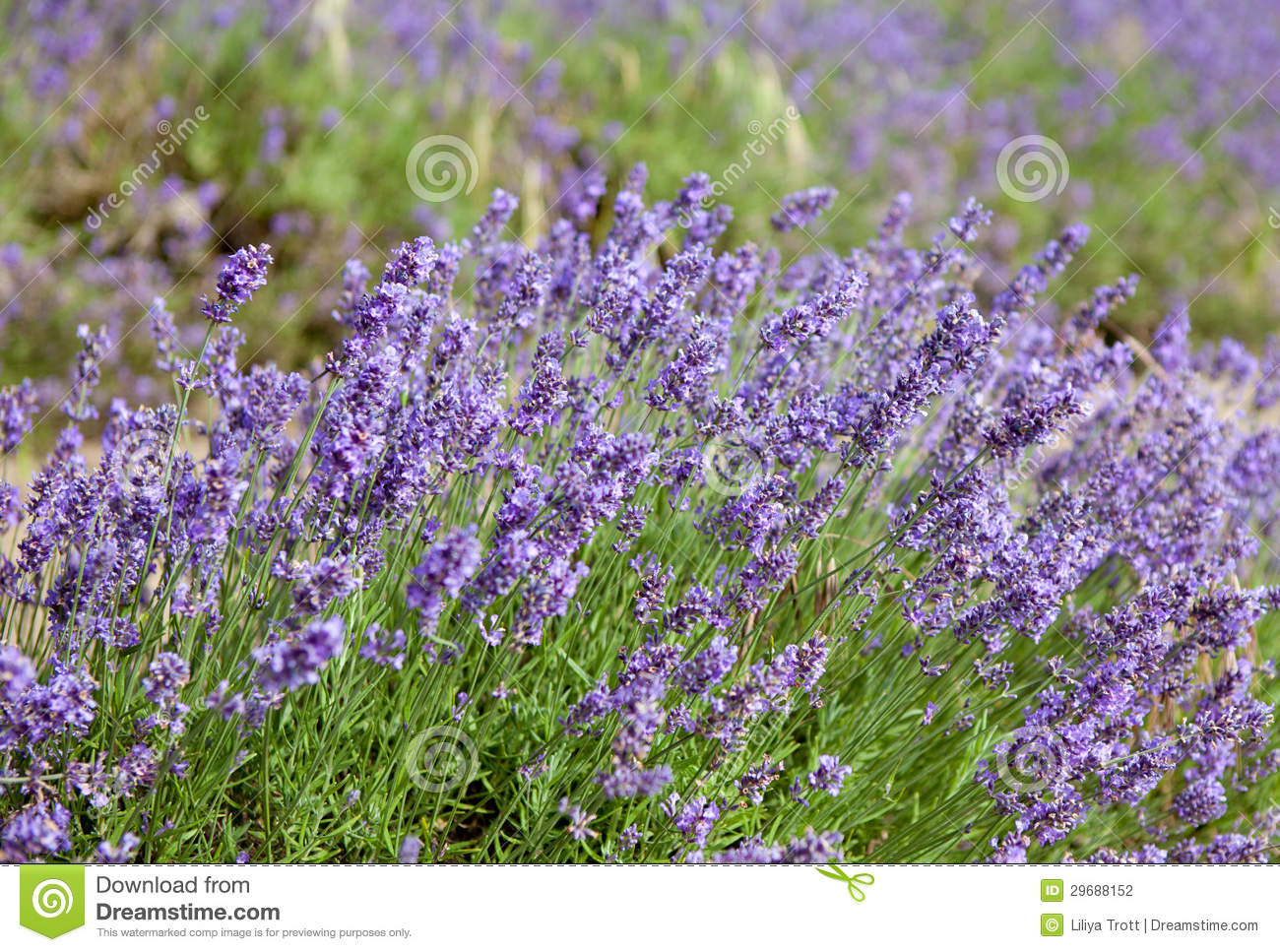 More Similar Stock Images Of Beautiful Lavender Fields In Jersey