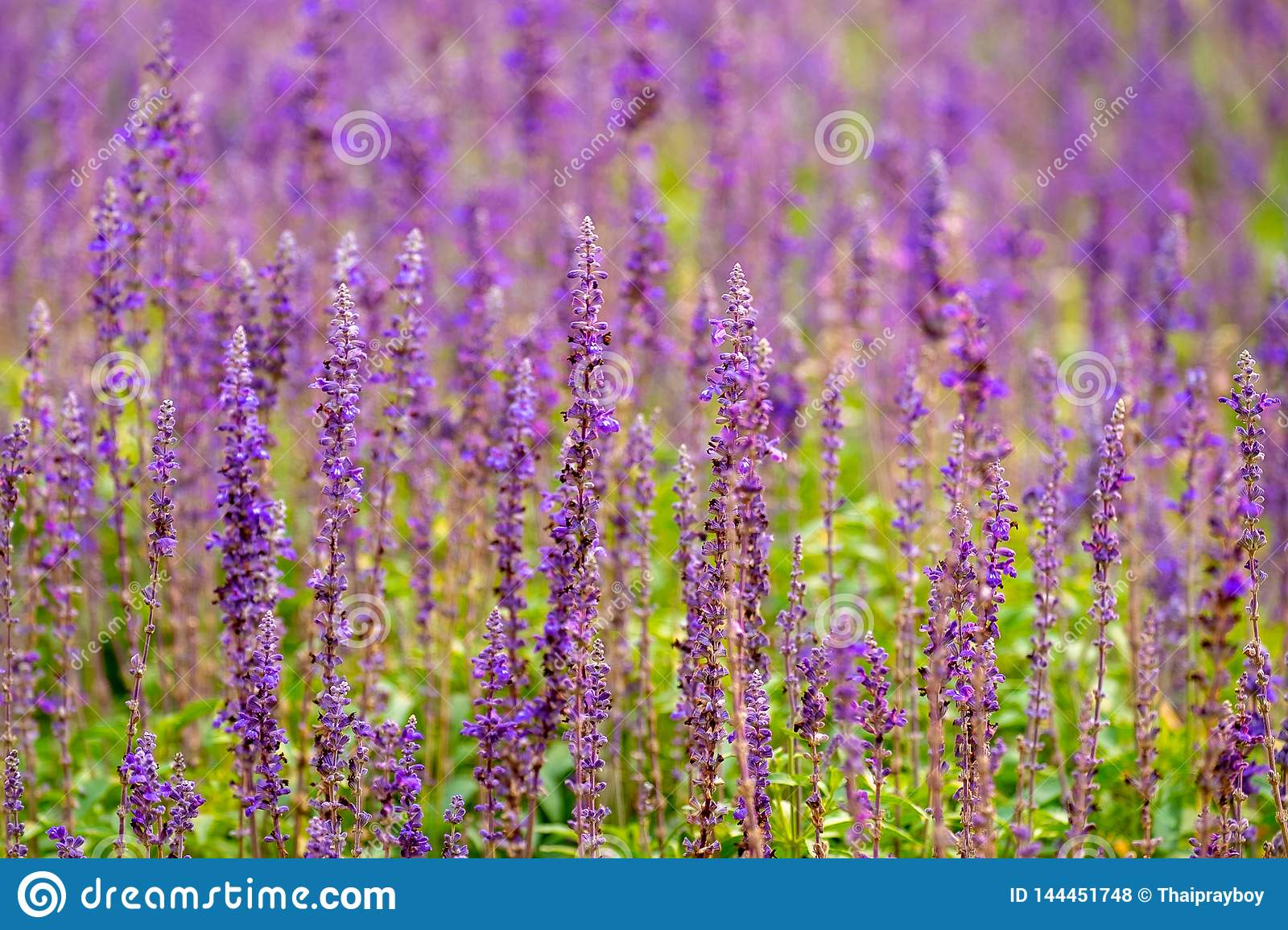 Beautiful Lavender Flower in the Field. Natural Violet Color Flowerin the Countryside