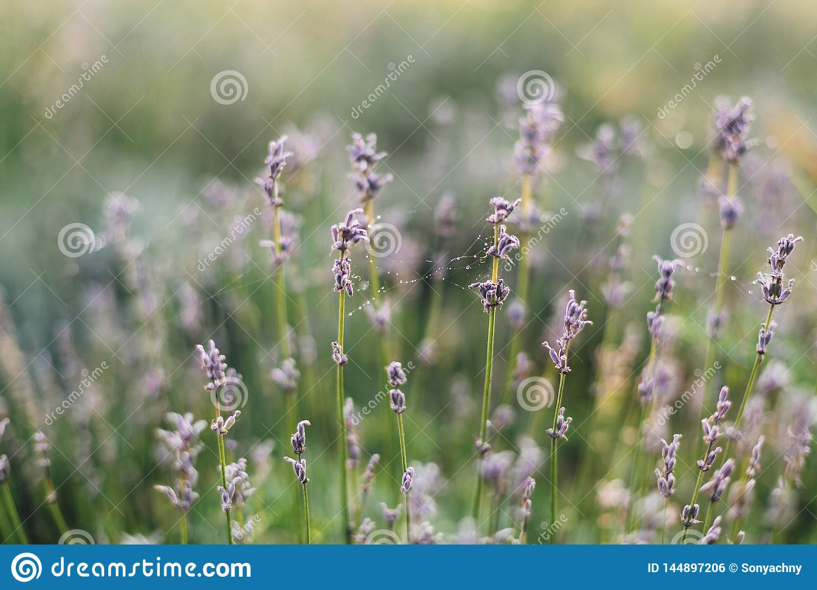 Beautiful Lavender Flowers With Morning Dew On Spider Web