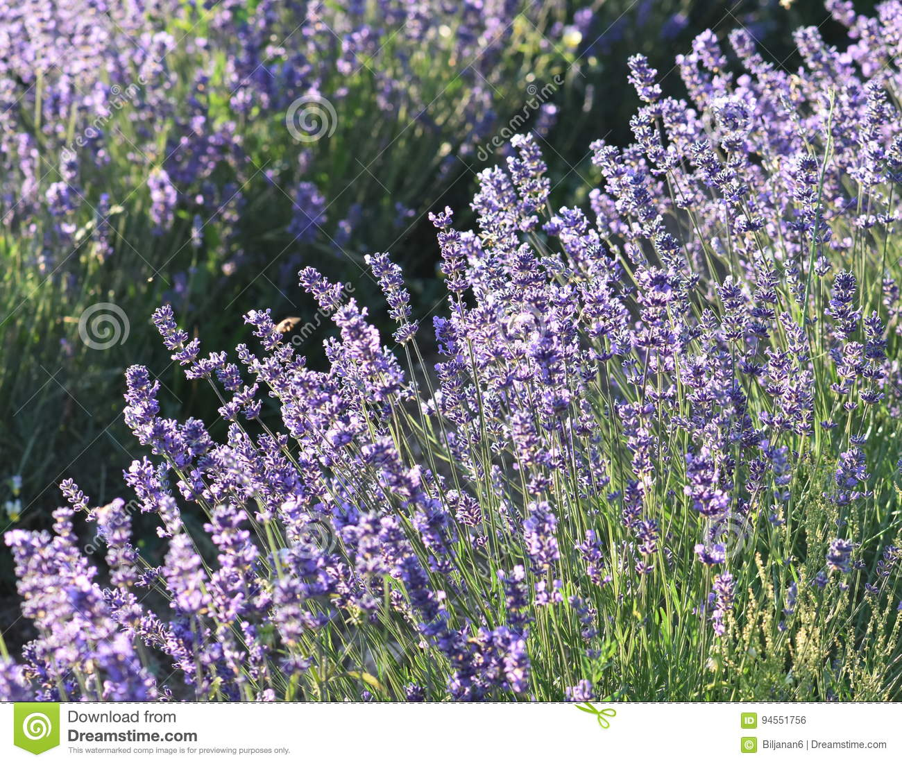 Beautiful lavender flowers in nature stock photo image of fresh download beautiful lavender flowers in nature stock photo image of fresh flowers 94551756 izmirmasajfo