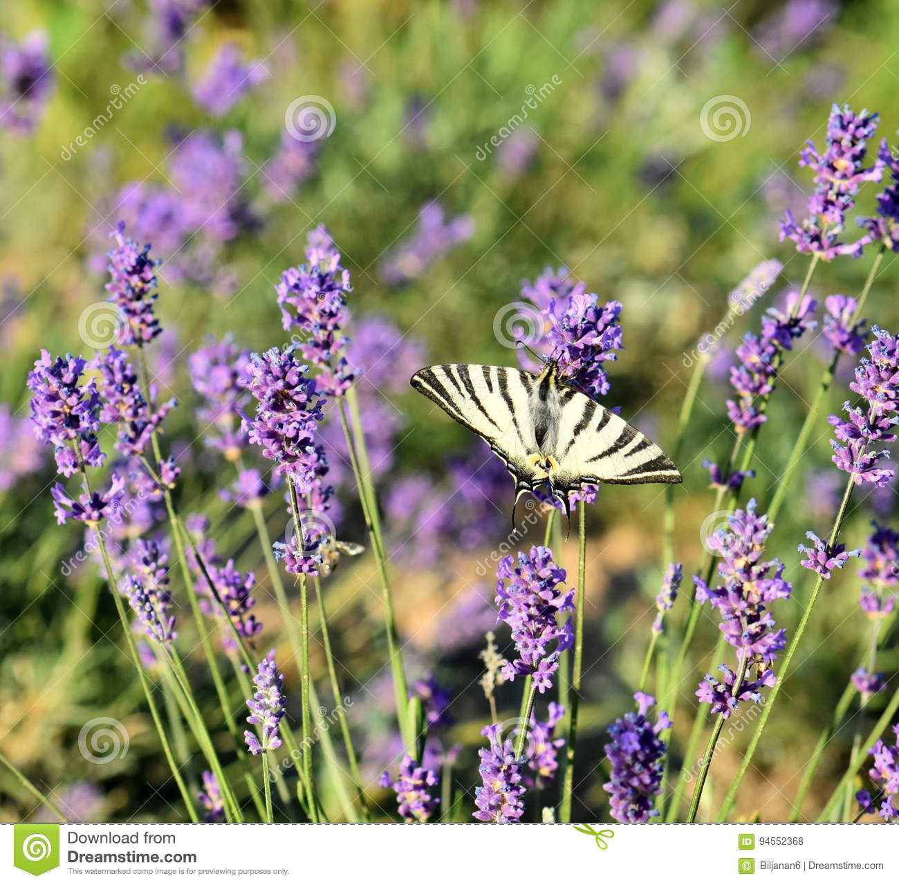 Beautiful lavender flowers in nature stock photo image of blooming beautiful field of lavender flowers in nature izmirmasajfo