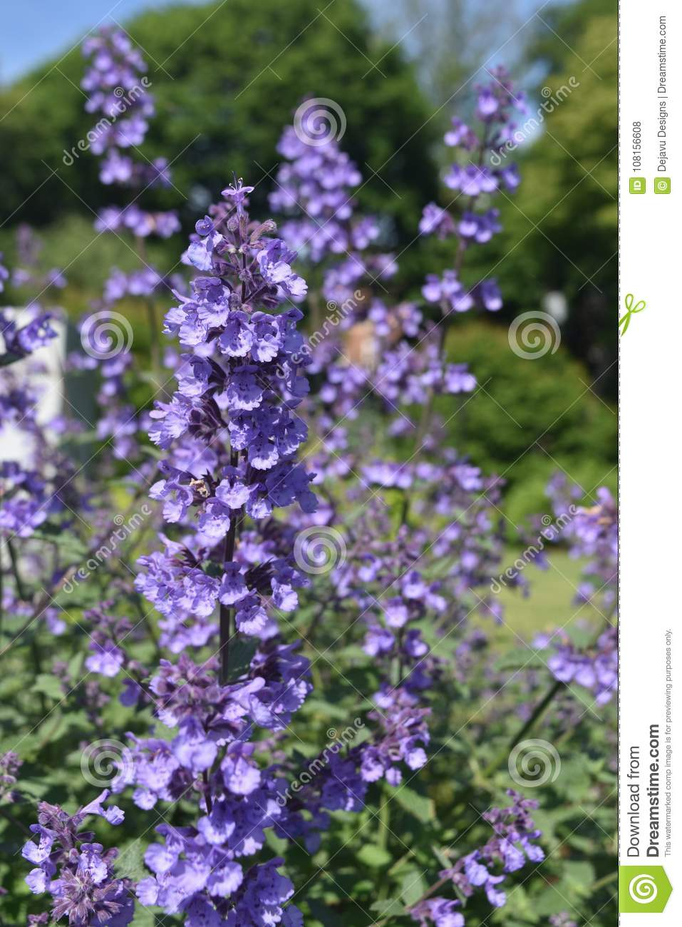 Really beautiful lavender flowers in the spring stock photo image download really beautiful lavender flowers in the spring stock photo image of bloom flowering izmirmasajfo