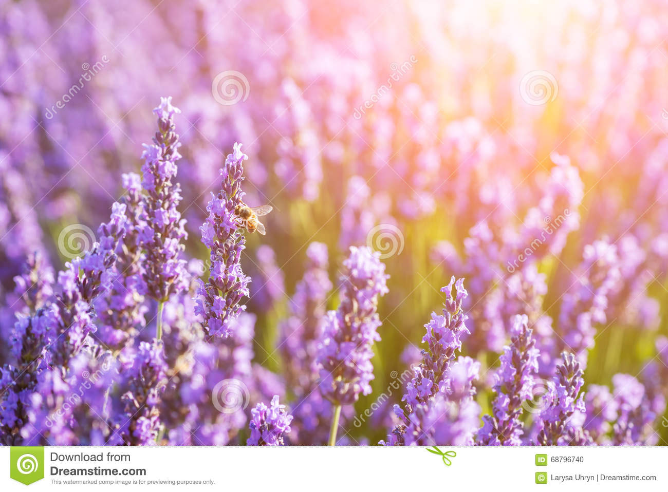 Beautiful lavender flowers with sunshine stock photo image of beautiful lavender flowers with sunshine izmirmasajfo