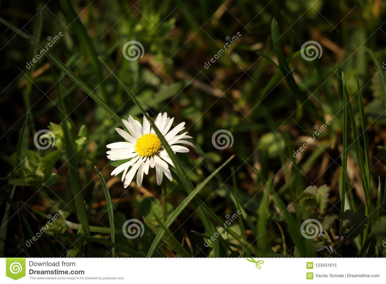 A beautiful lawn daisy in the middle of grassland. Very nice present for mother or for decoration to your house