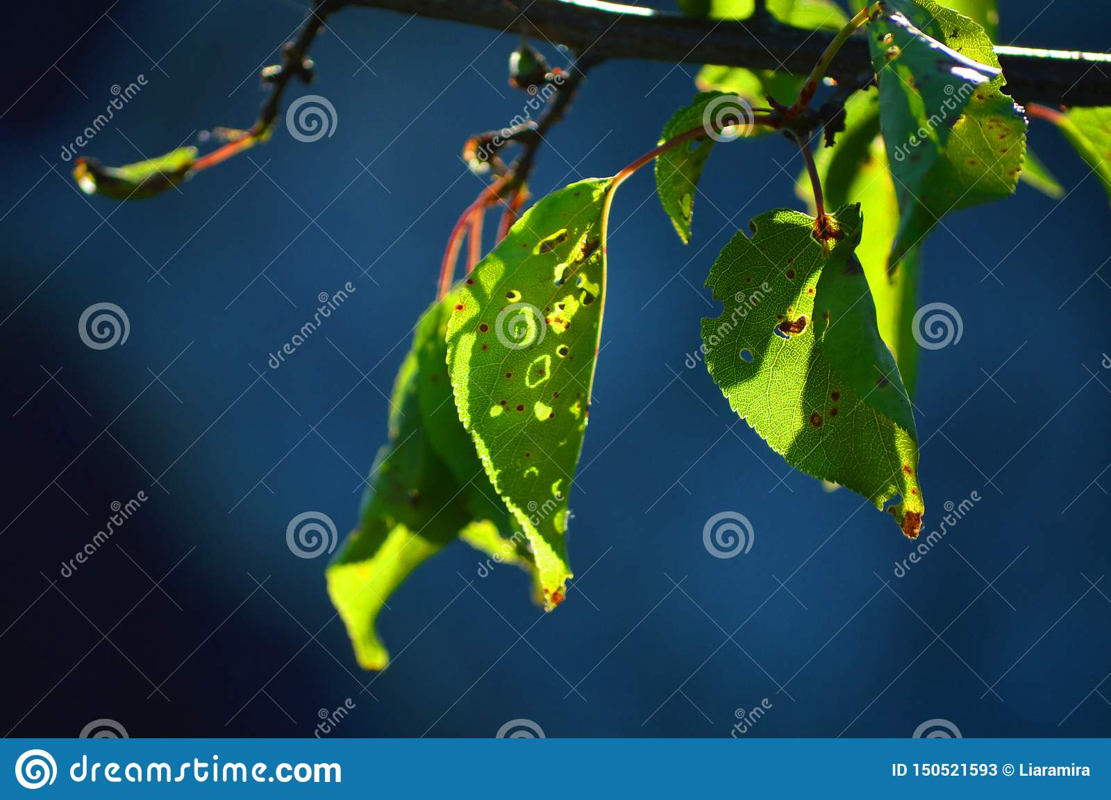 Beautiful leaves of apricot. Bright sun and dark blue background