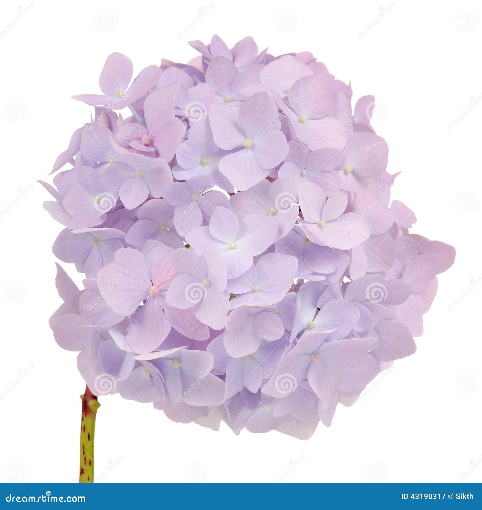 Beautiful Light Purple Hydrangea Flowers On White Background Stock