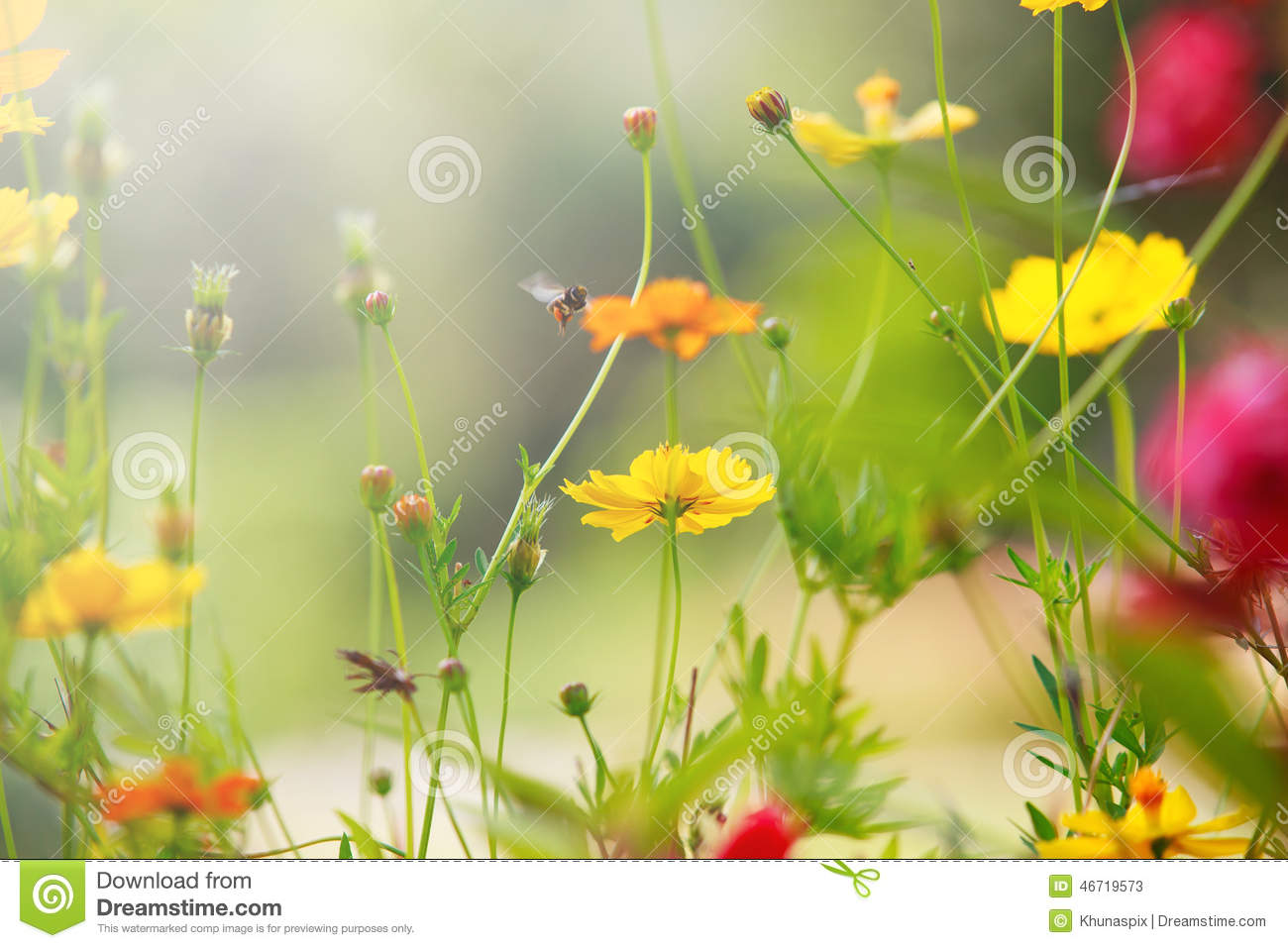 Beautiful Light With Yellow Cosmos Flowers Field With