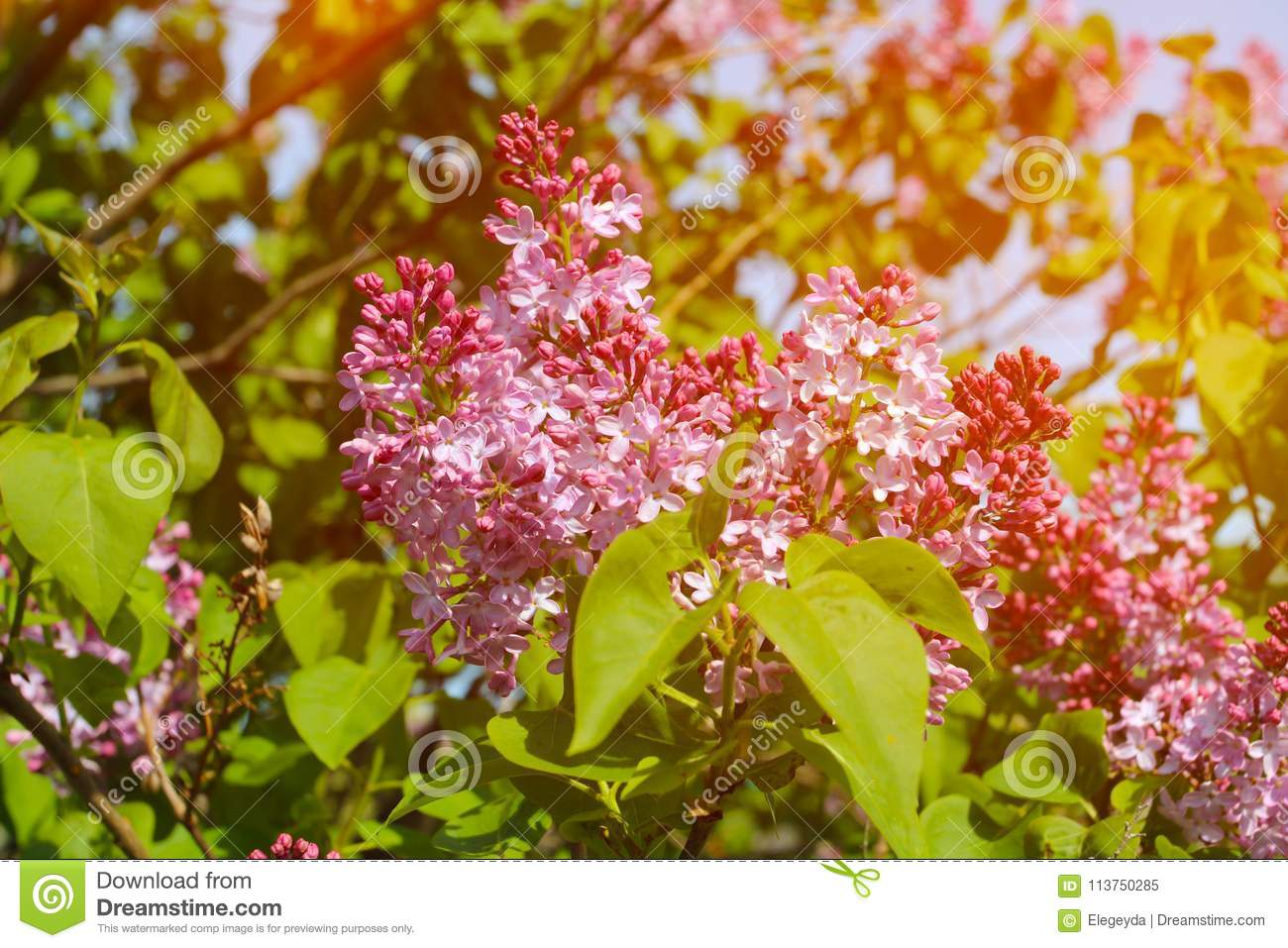 Beautiful Lilac Flowers With Sunlight Stock Image Image Of Bush
