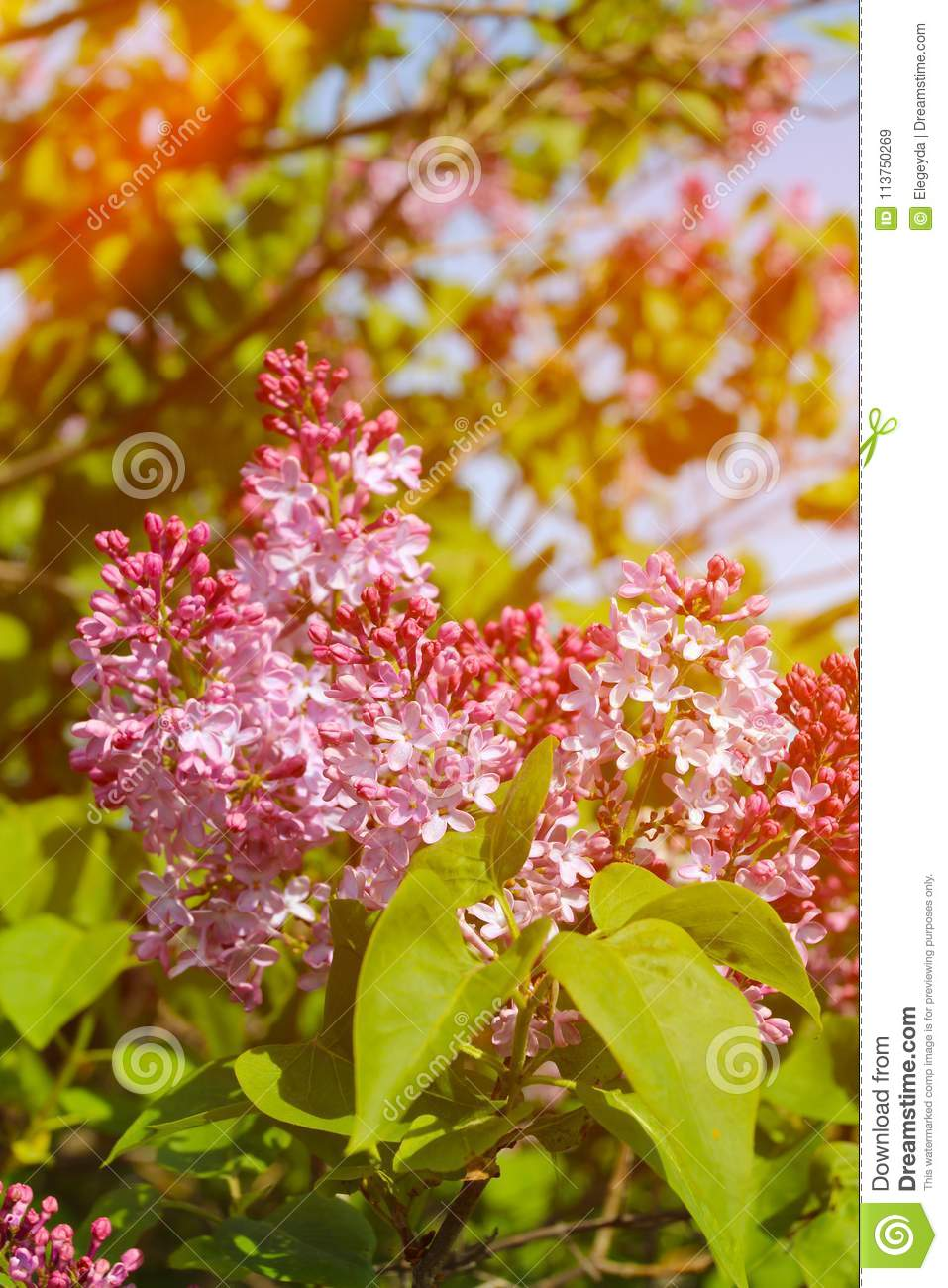 Beautiful Lilac Flowers With Sunlight Stock Image Image Of Floral