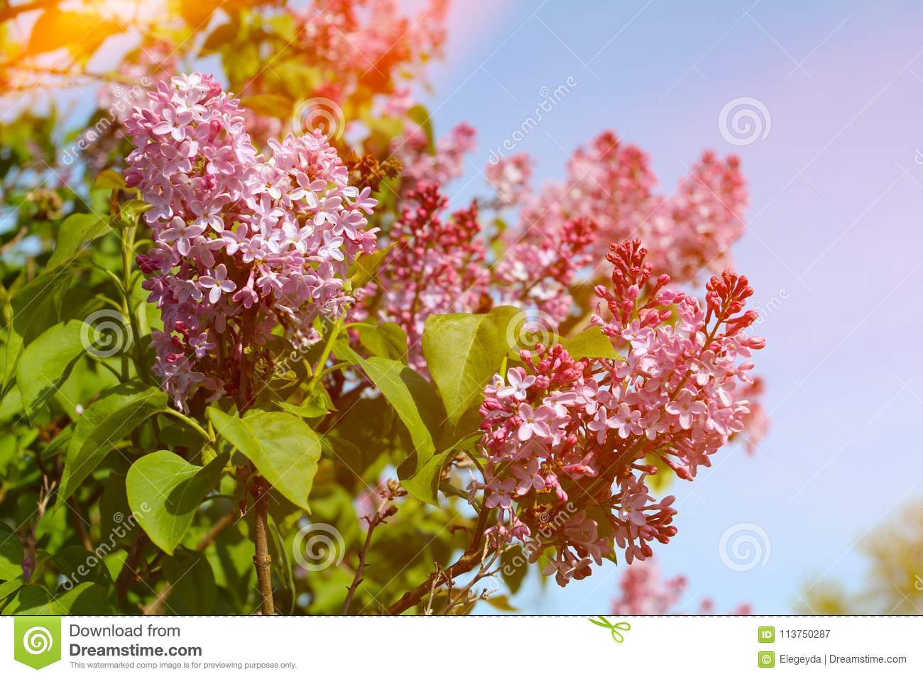 Beautiful Lilac Flowers With Sunlight Stock Image Image Of Blossom