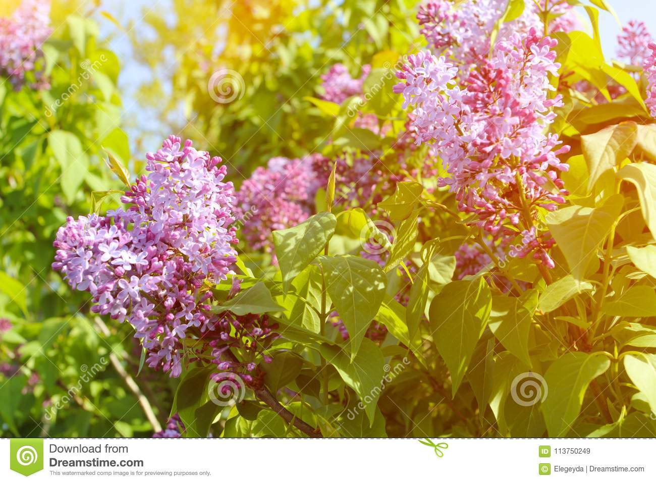 Beautiful Lilac Flowers With Sunlight Stock Image Image Of