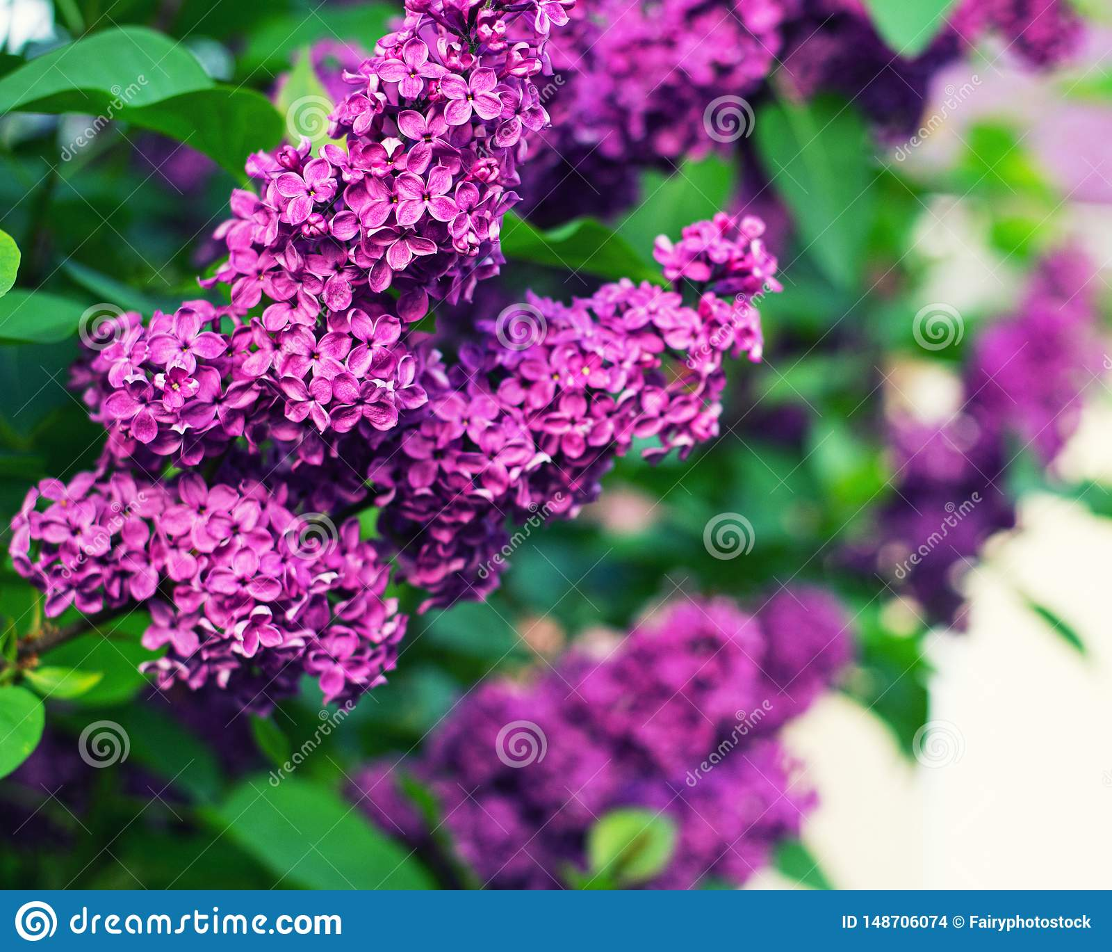 Beautiful lilac with green leaves in the summer garden