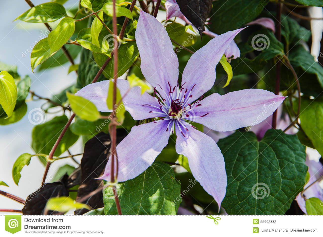 Beautiful Lilac Purple Flower Vine Flowers Stock Photo Image Of