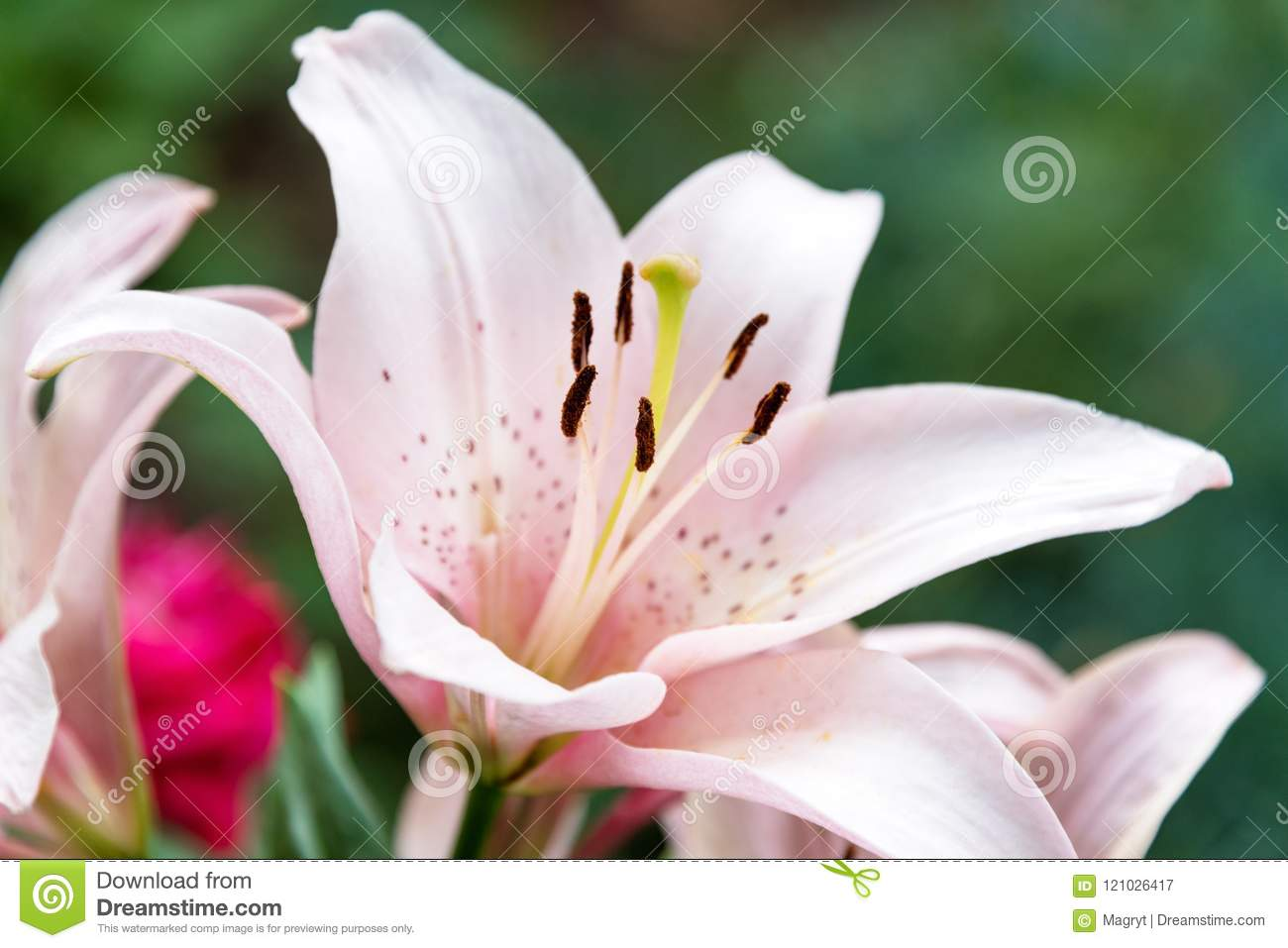 Beautiful lily flower on green leaves background lilium longiflorum beautiful lily flower on green leaves background lilium longiflorum flowers in the garden izmirmasajfo