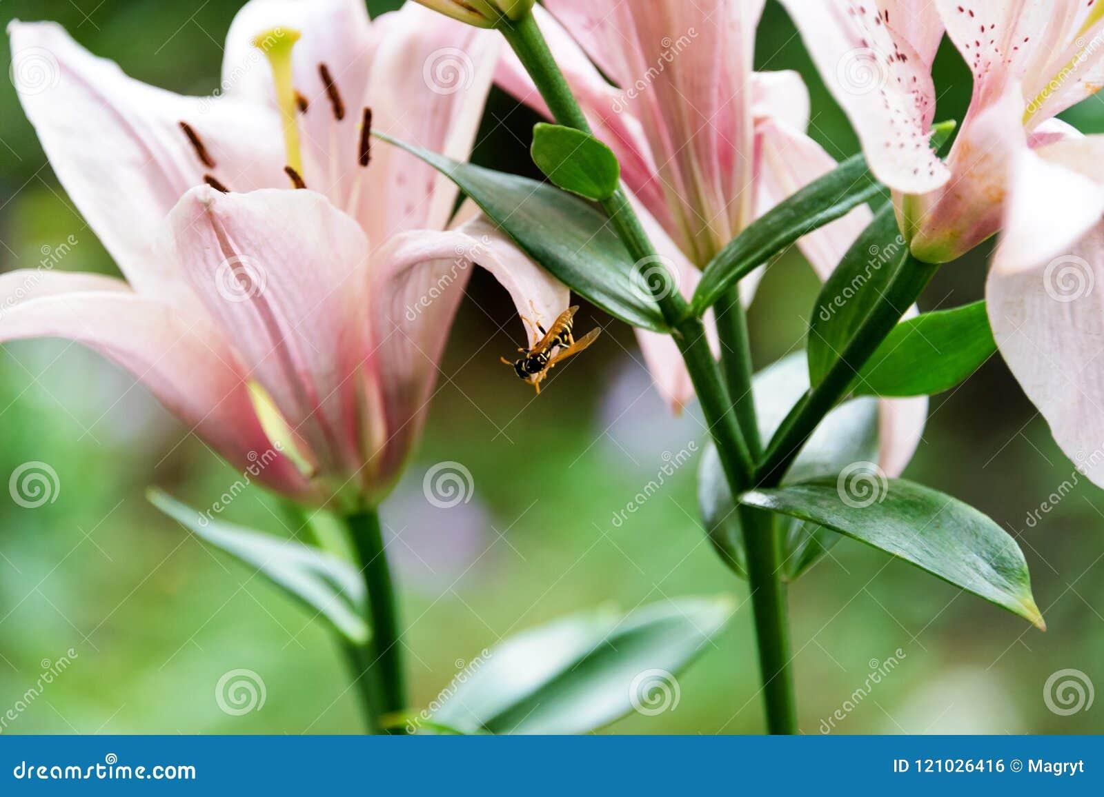 Beautiful lily flowers on green leaves background wasp sits on the beautiful lily flowers on green leaves background wasp sits on the flower lilium longiflorum izmirmasajfo