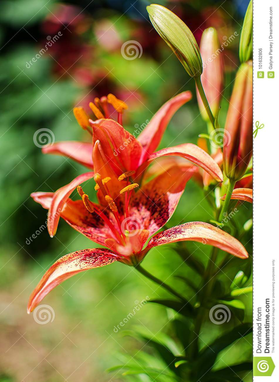 Beautiful lily flowers grow in the summer stock photo image of beautiful lily flowers grow in the summer izmirmasajfo