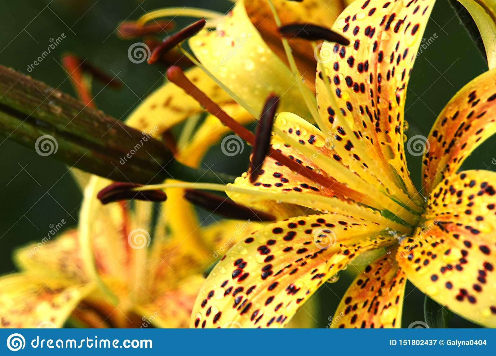 Beautiful lily flowers grow in the summer