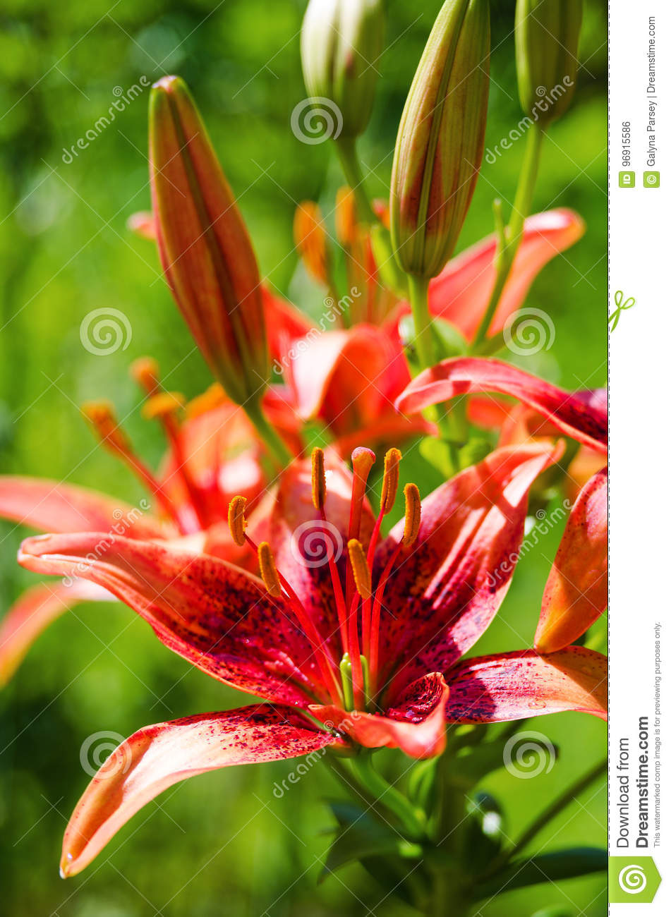 Beautiful lily flowers grow in the summer stock photo image of download beautiful lily flowers grow in the summer stock photo image of lilly flower izmirmasajfo