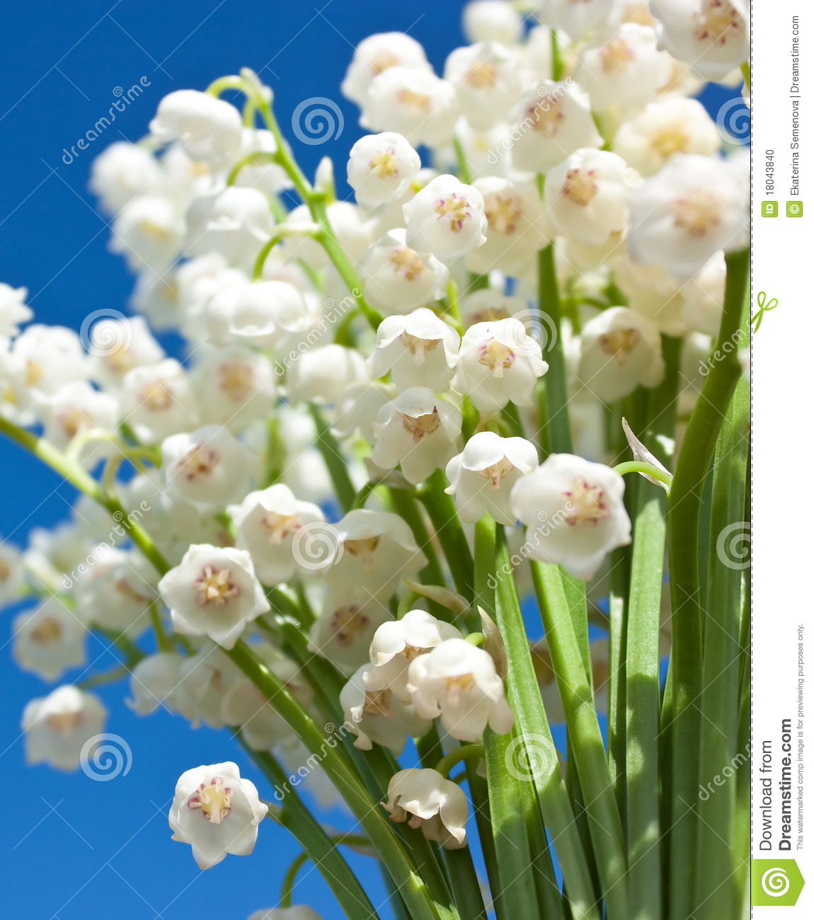 Beautiful lily of the valley flowers stock photo image of april beautiful lily of the valley flowers izmirmasajfo