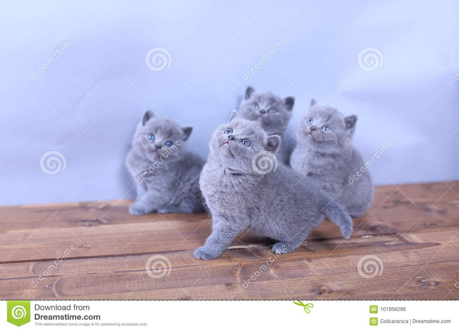 Cute Kittens Looking Up British Shorthair Stock Image Image Of Beige Amazing 101956299