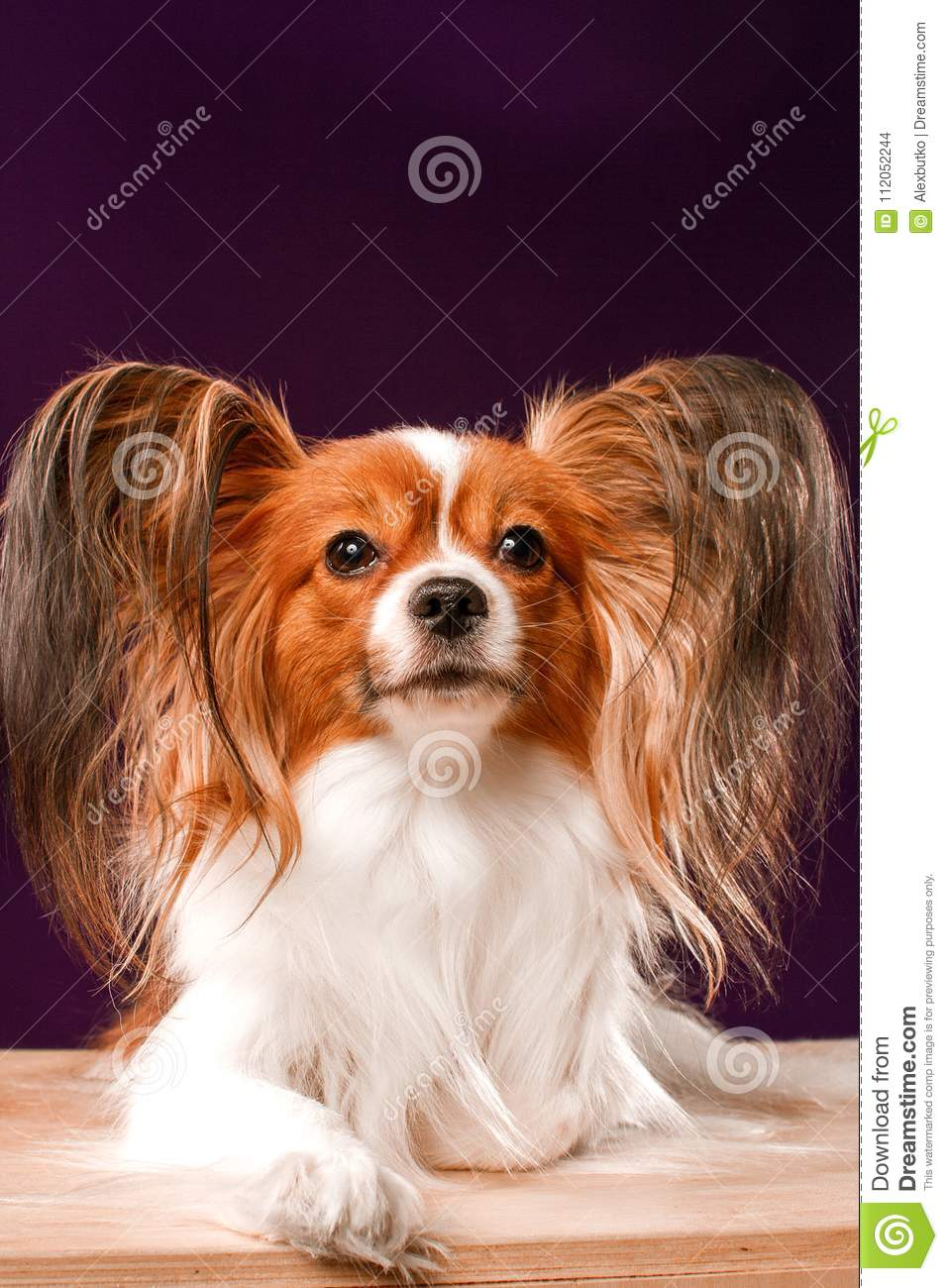 Beautiful Papillon Dog With Smooth Hair And Large Ears On A