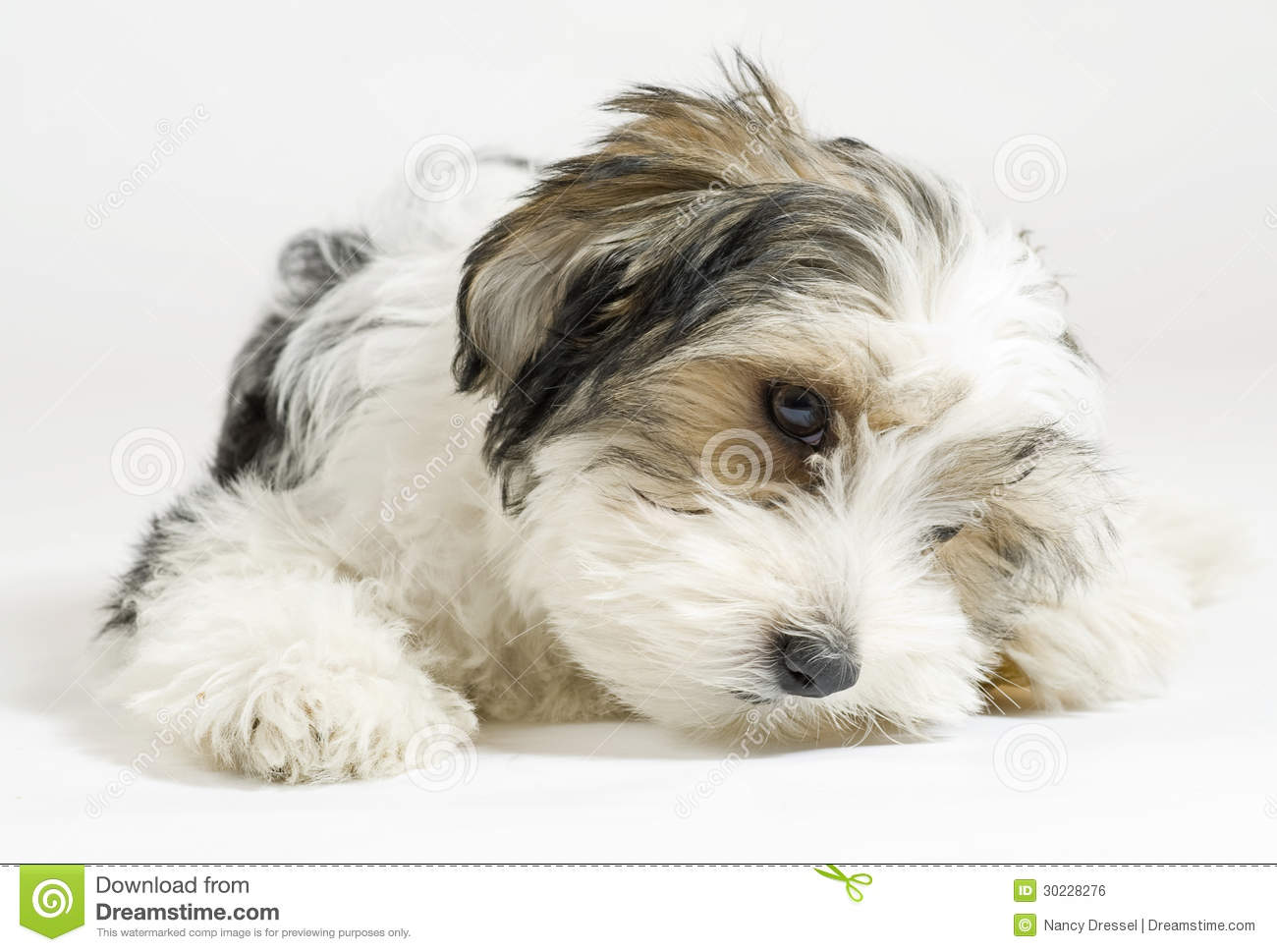 Small Longhaired Mixed Dog, 16 Weeks, Maltese And Yorkshire Terrier ...