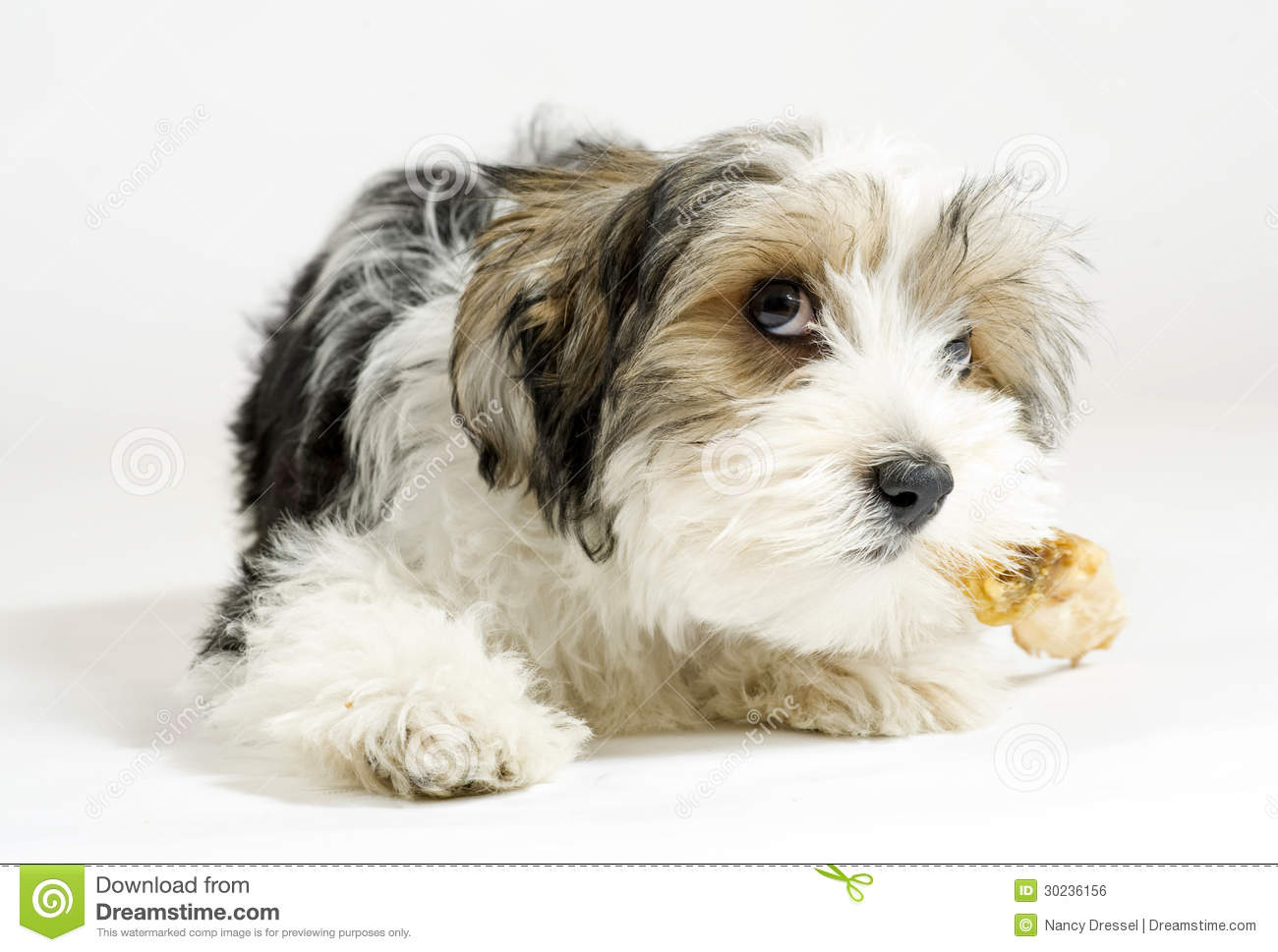 Small Terrier Mix Breeds small longhaired mixed dog, 16 weeks, maltese ...